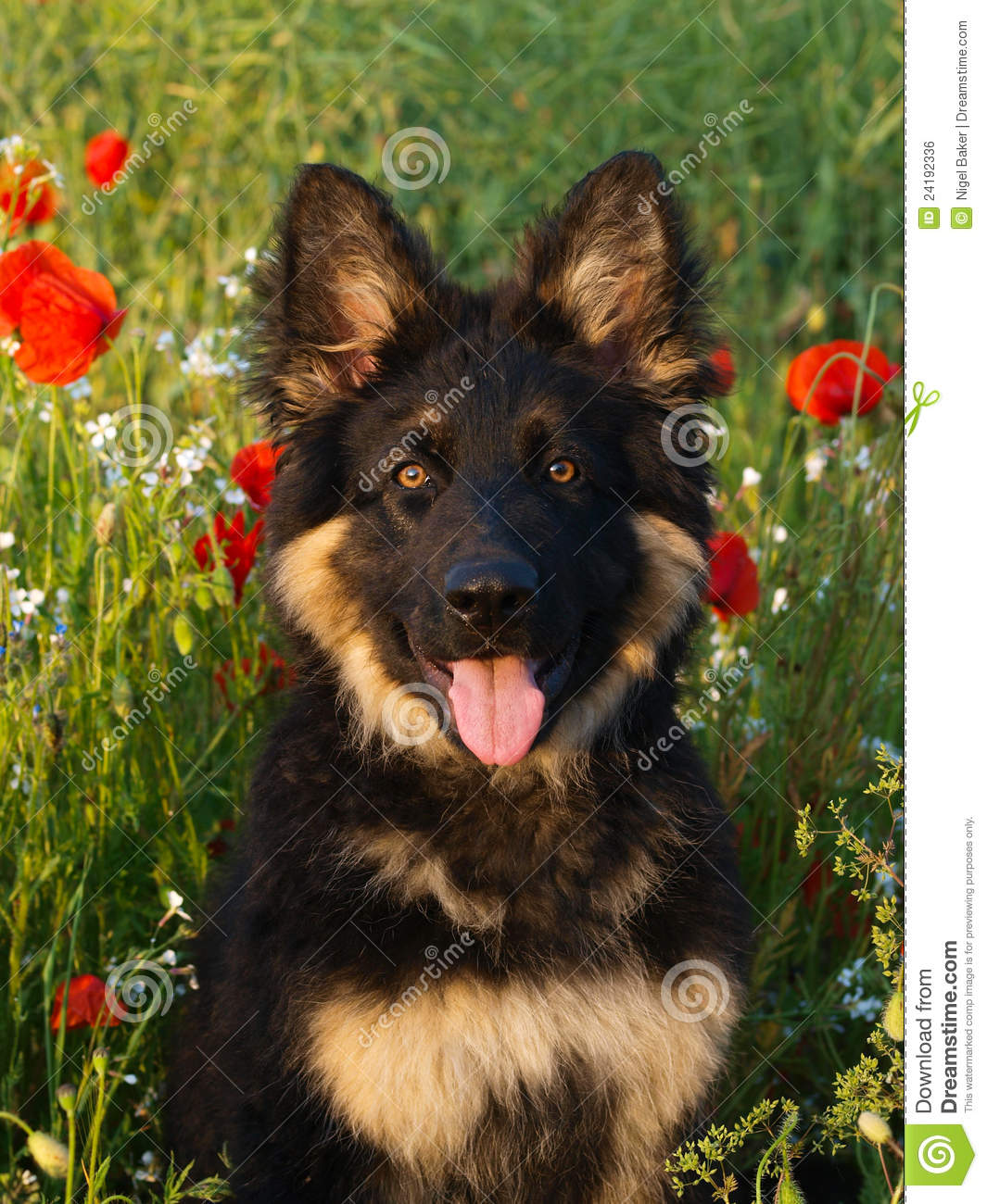 Download Puppy in Poppies stock photo. Image of handsome, teeth - 24192336