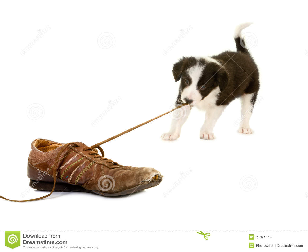 Puppy Pulling Shoe Lace Stock Photos - Image: 24391343