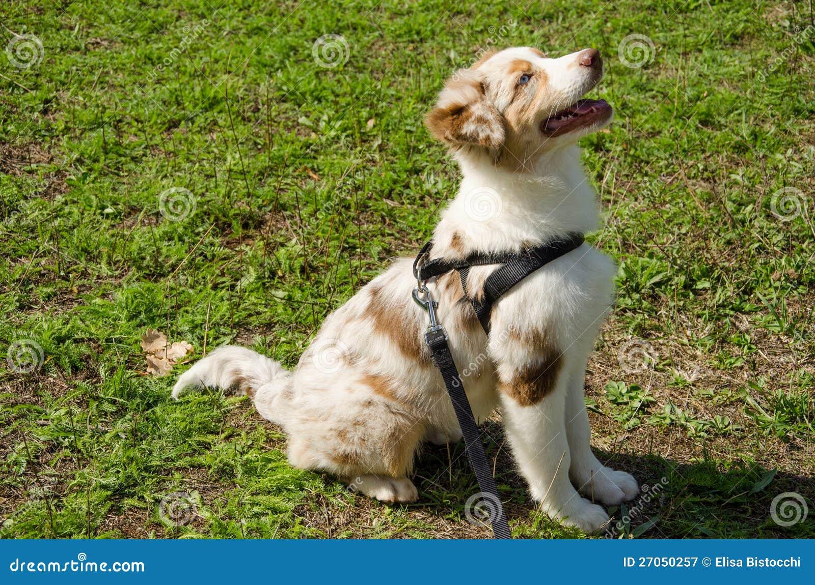 Portrait of puppy of red merle australian shepherd.