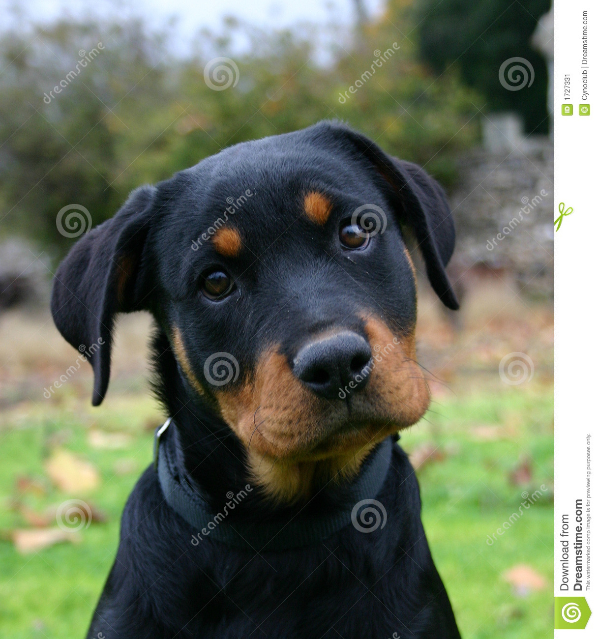 Puppy Rottweiler Stock Image Image Of Friend Nature