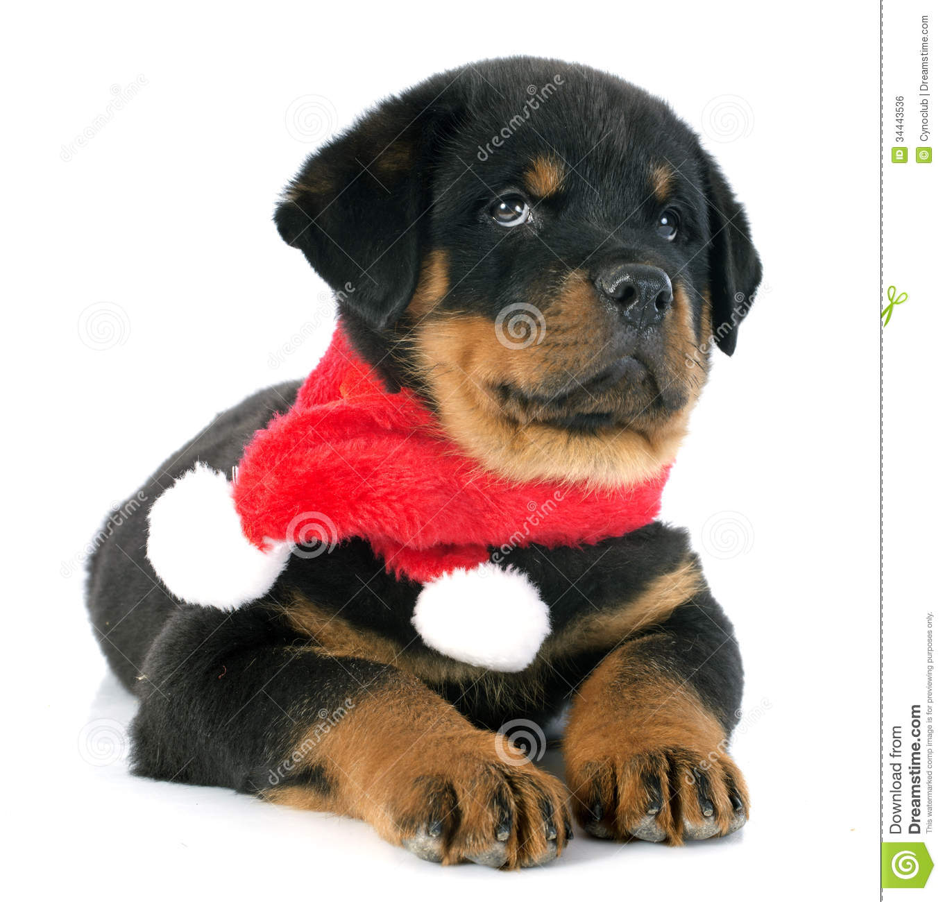 Rottweiler in a red scarf stock image. Image of fighter - 16976557