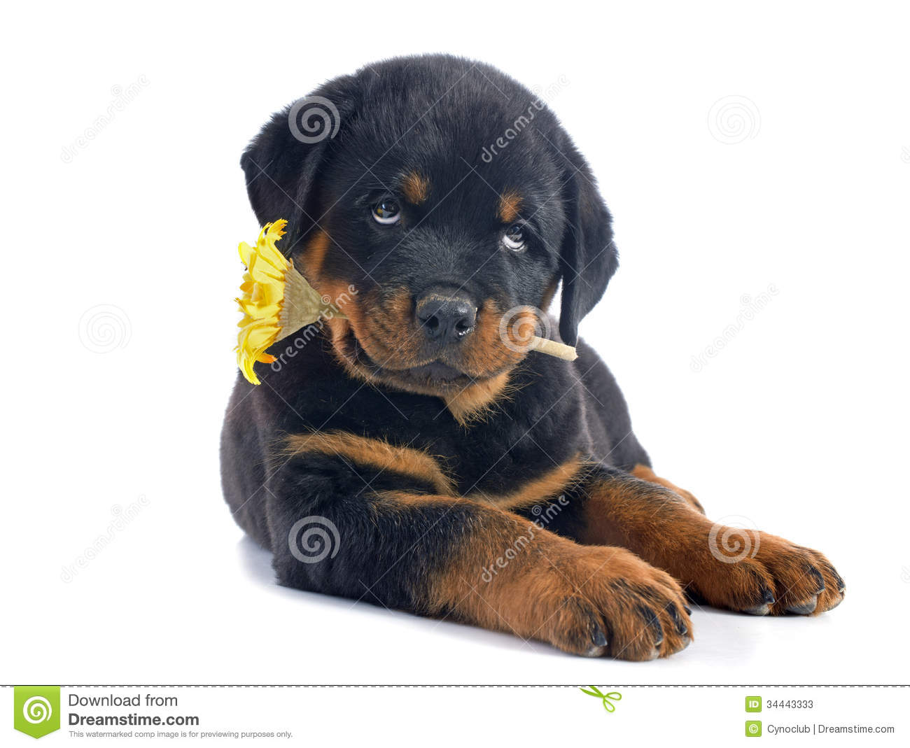 Puppy Rottweiler And Flower Stock Photos Image 34443333