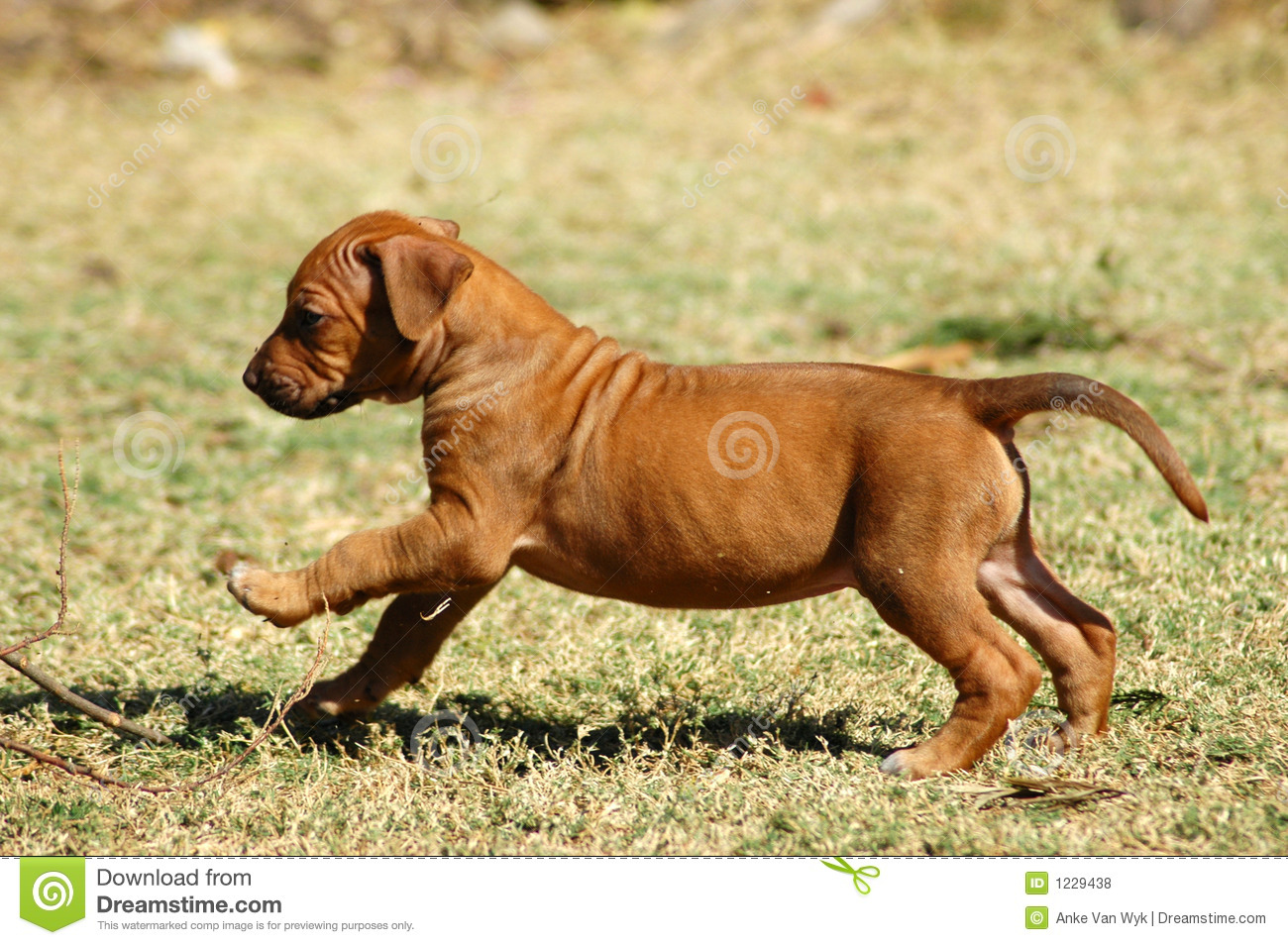 Puppy Running Stock Photo Image Of Hounds Breed