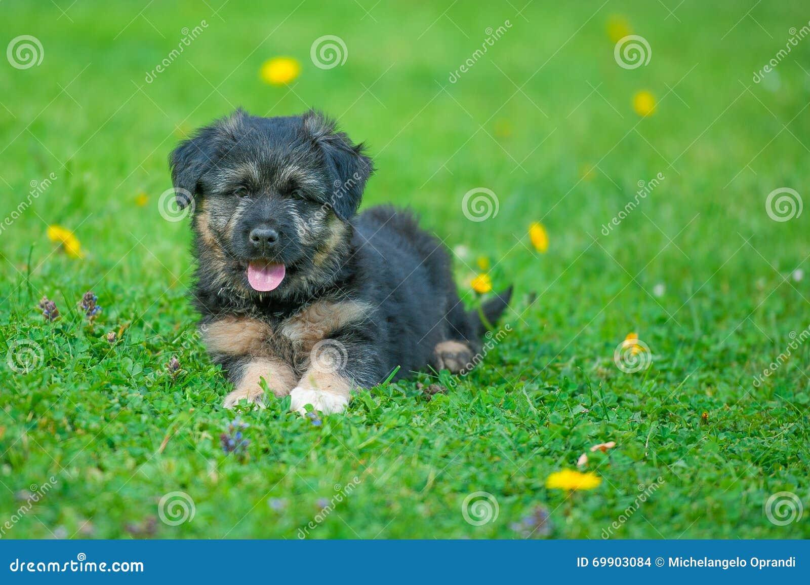 Puppy shepherd dog Bergamasco