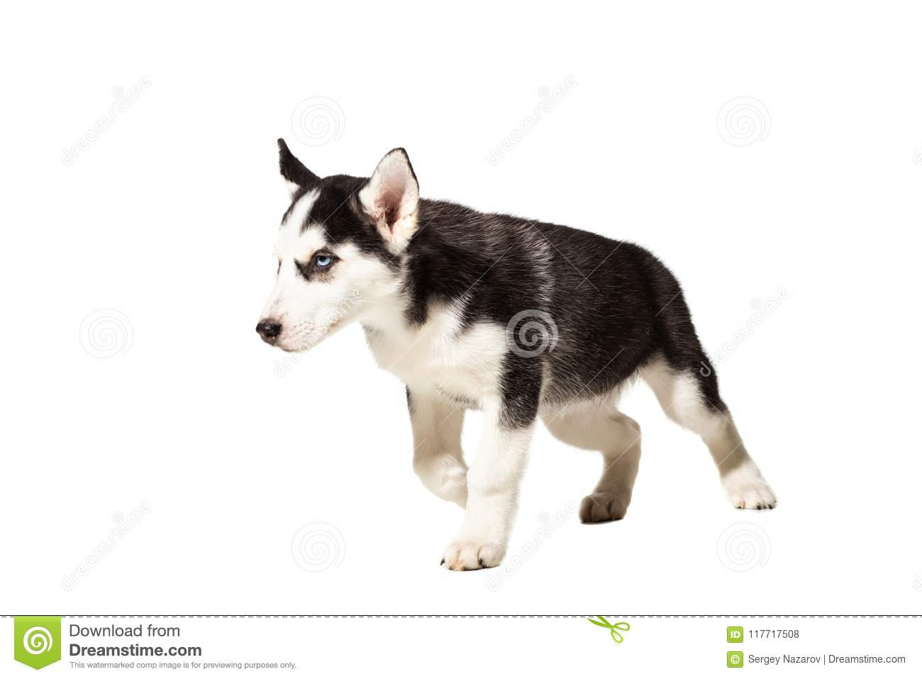 Puppy Siberian Husky Black And White With Blue Eyes On White