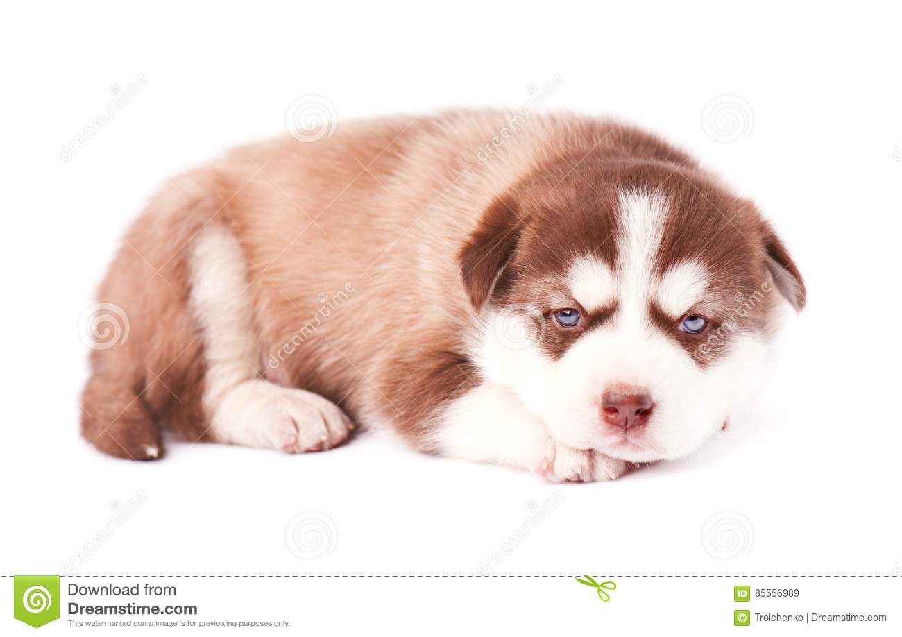 Puppy Of Siberian Husky Brown Color On White Background Stock
