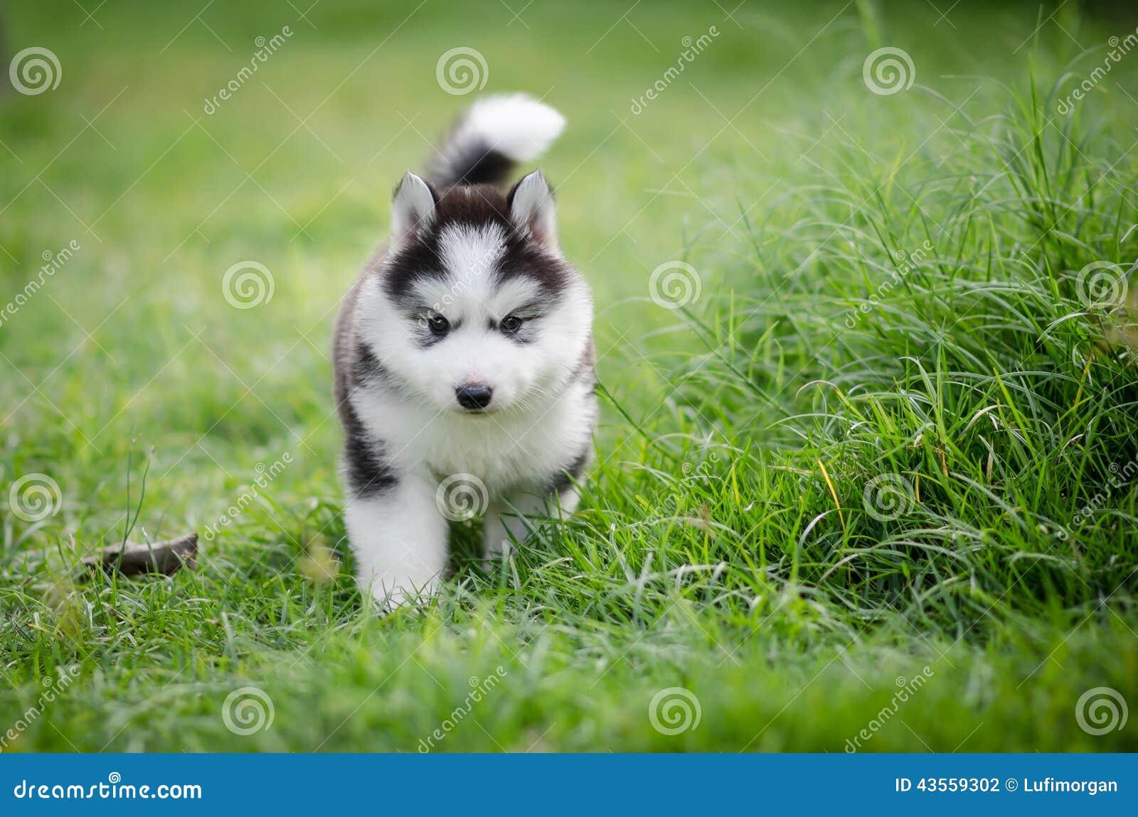 Puppy Siberian Husky On Grass Stock Photo Image Of Mammal Field