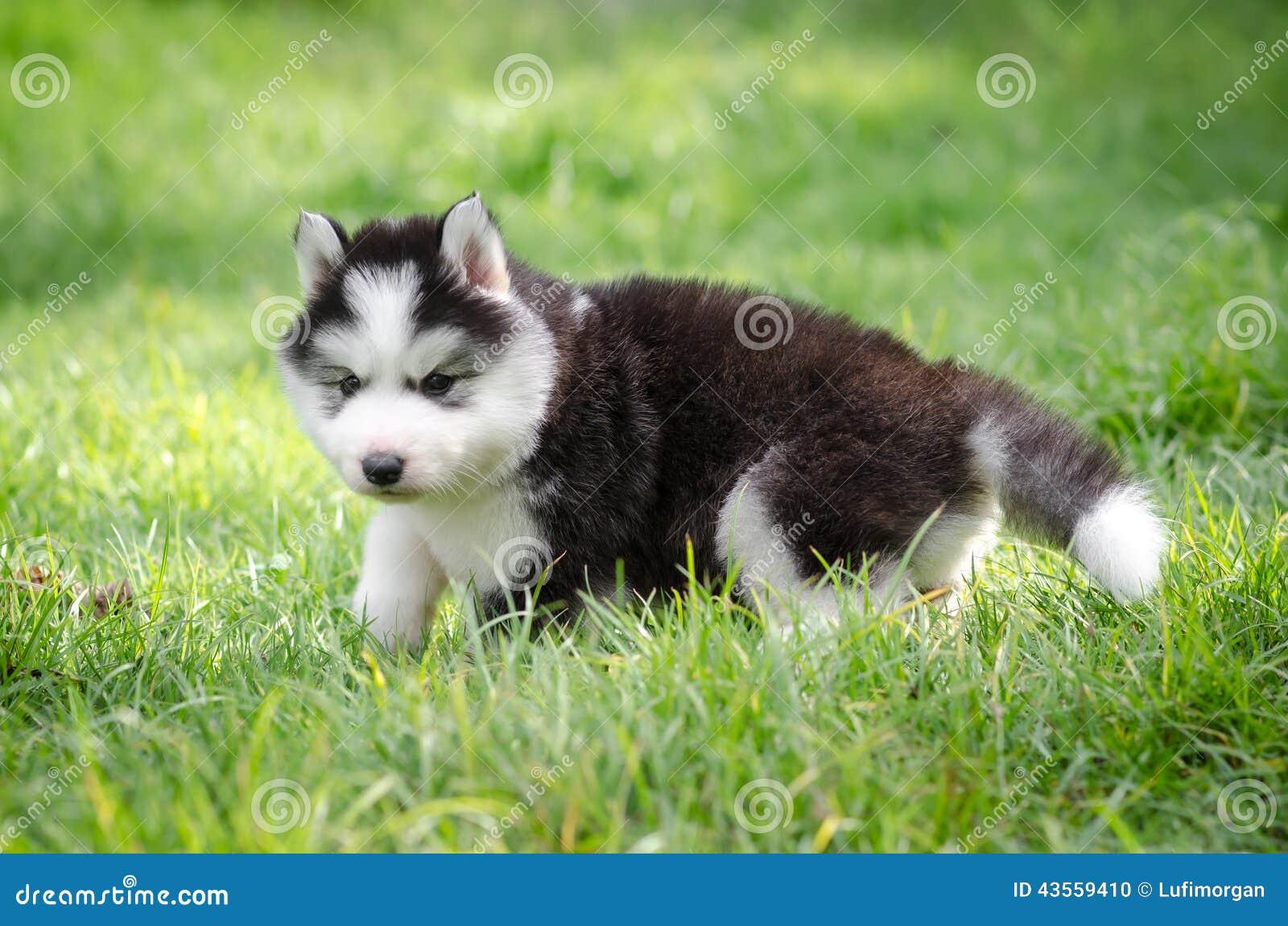Puppy Siberian Husky On Grass Stock Photo Image Of Gray Land