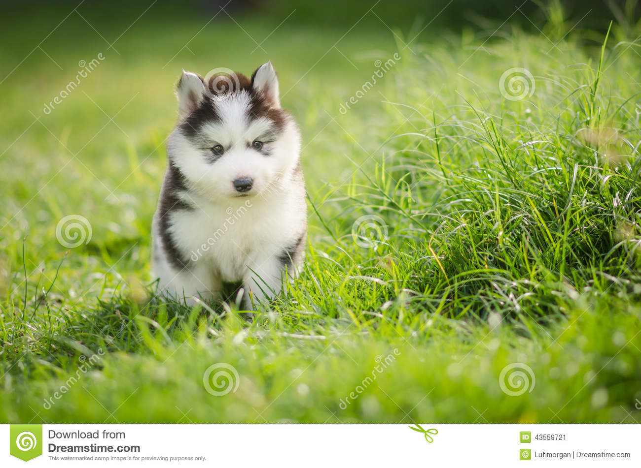 Puppy Siberian Husky On Grass Stock Image Image Of Green Play