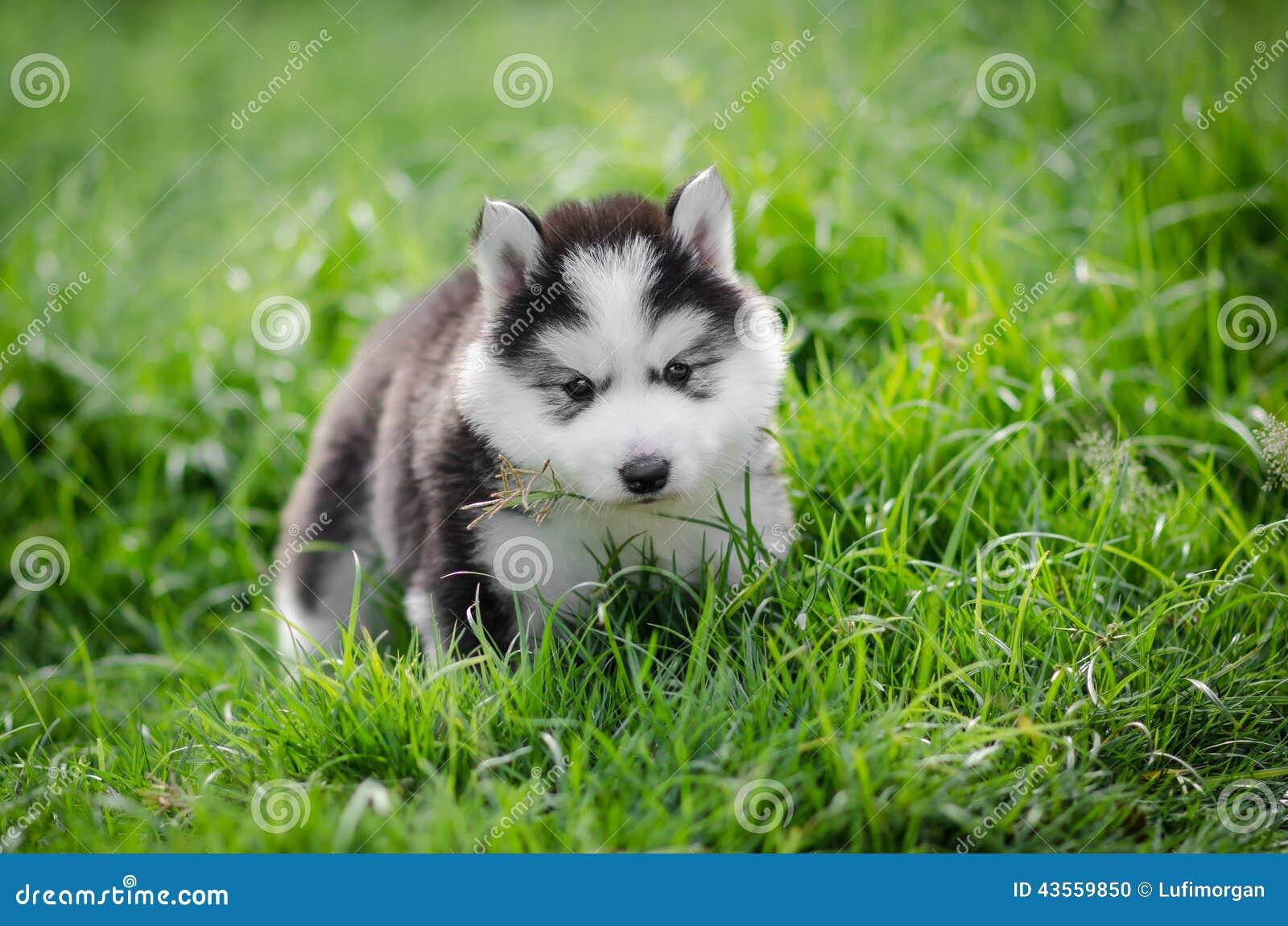 Puppy Siberian Husky On Grass Stock Photo Image Of Furry Cute