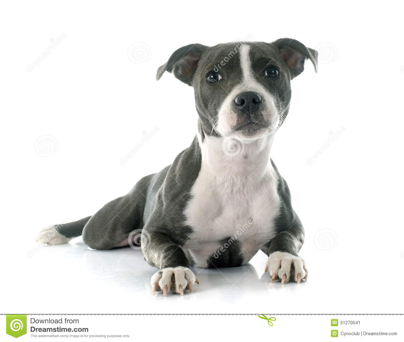 Puppy Staffordshire Bull Terrier Stock Image Image Of