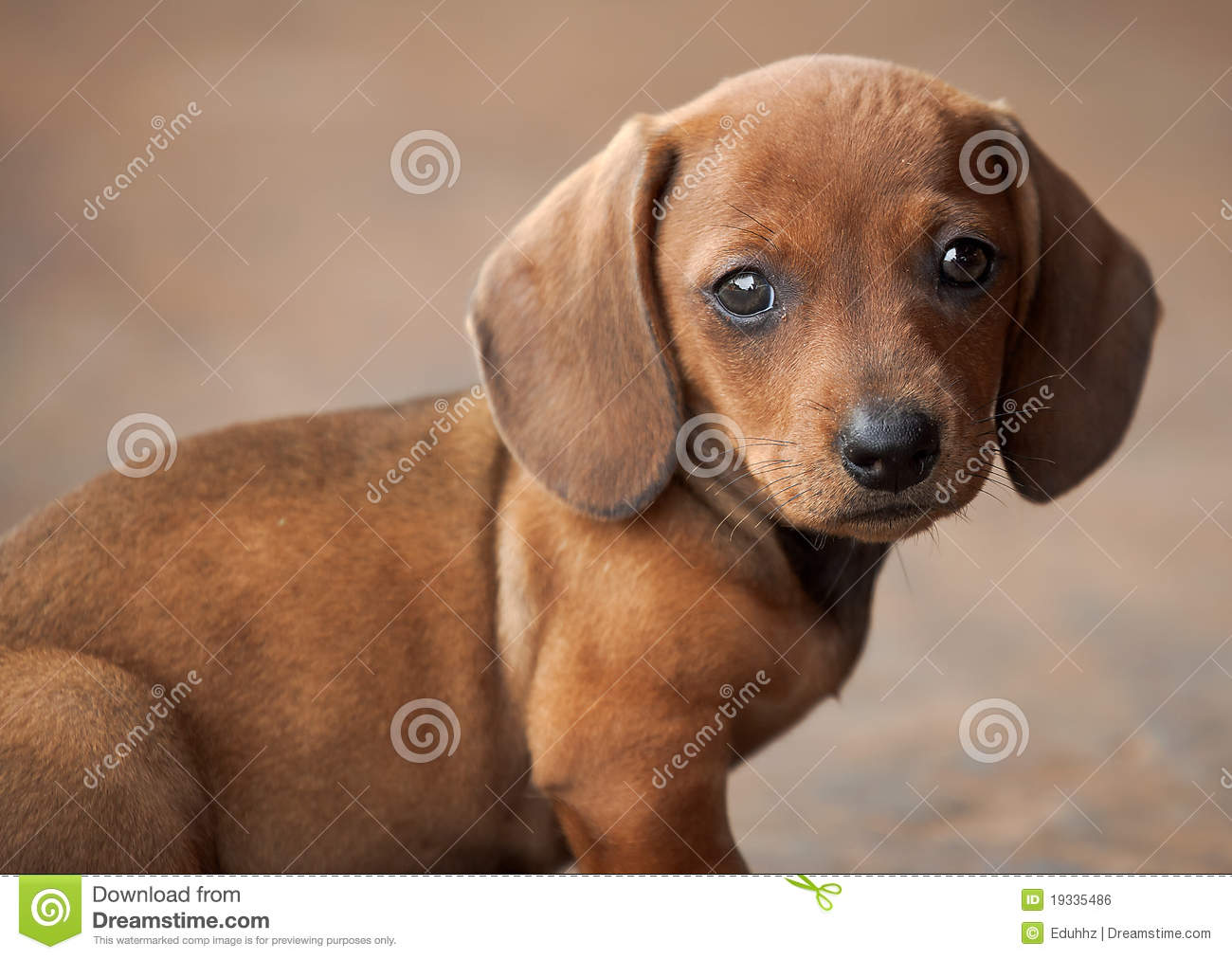 puppy   teckel or dachshund royalty free stock image