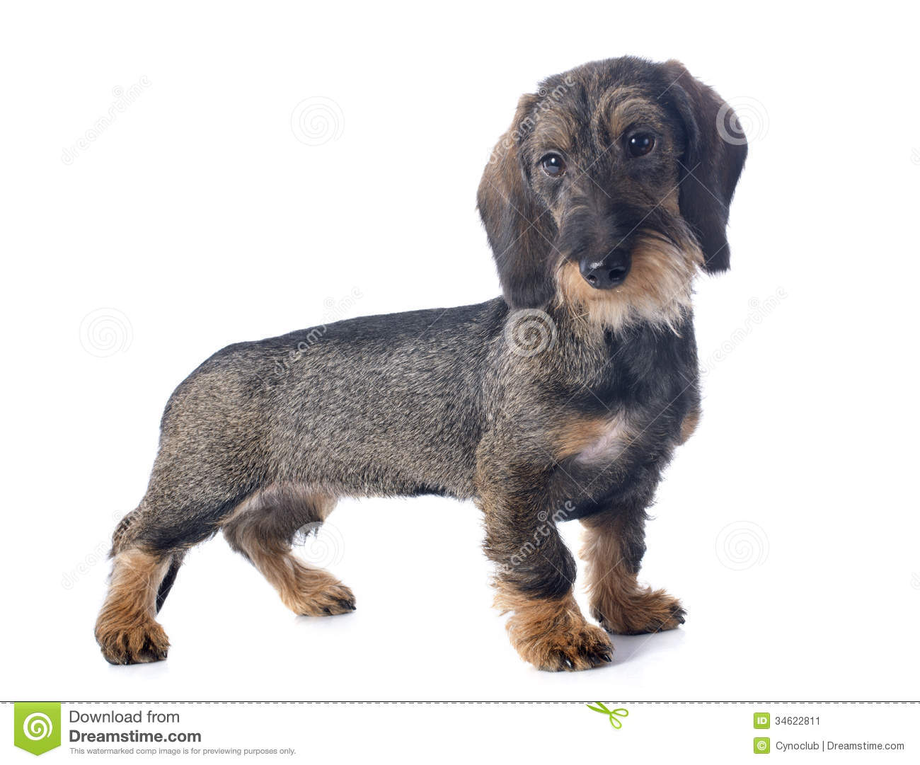 Puppy Wire Haired Dachshund Stock Image - Image of studio ...