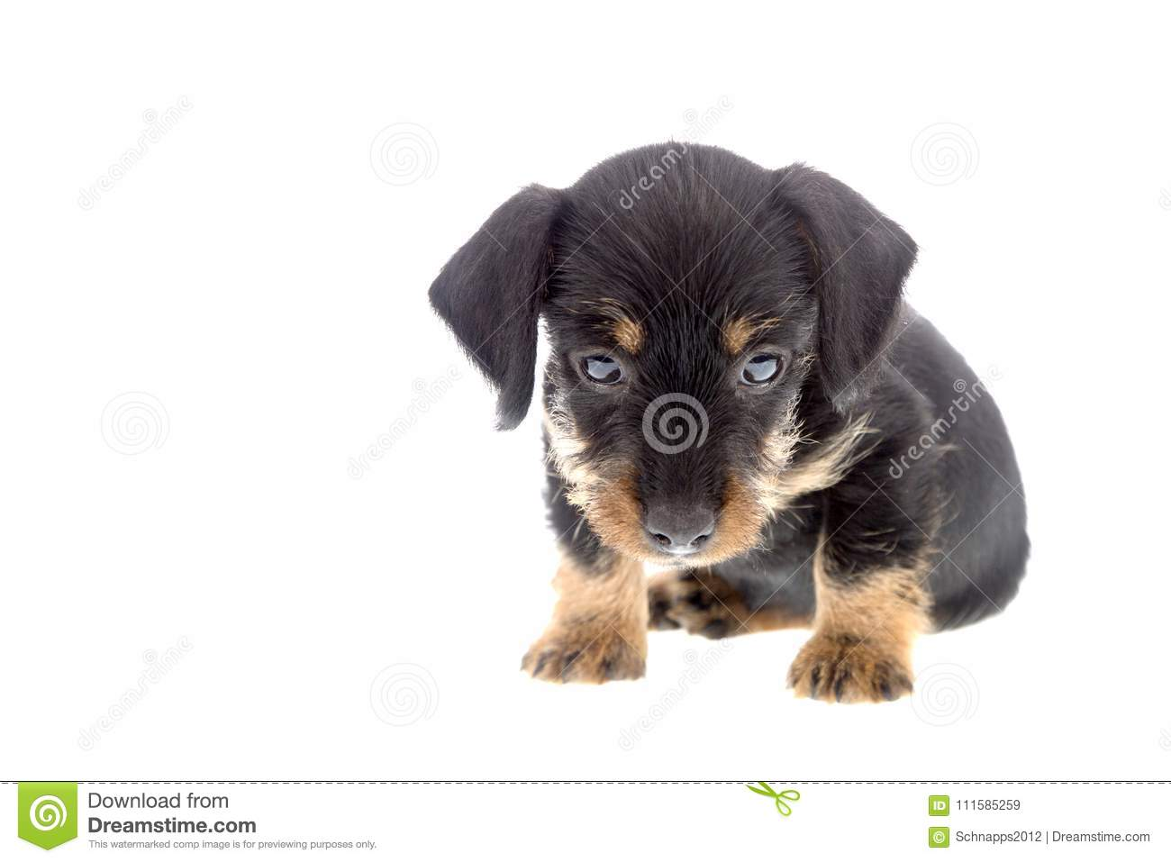 Contemporary Wirehaired Dachshund For Adoption Ca Image Collection ...