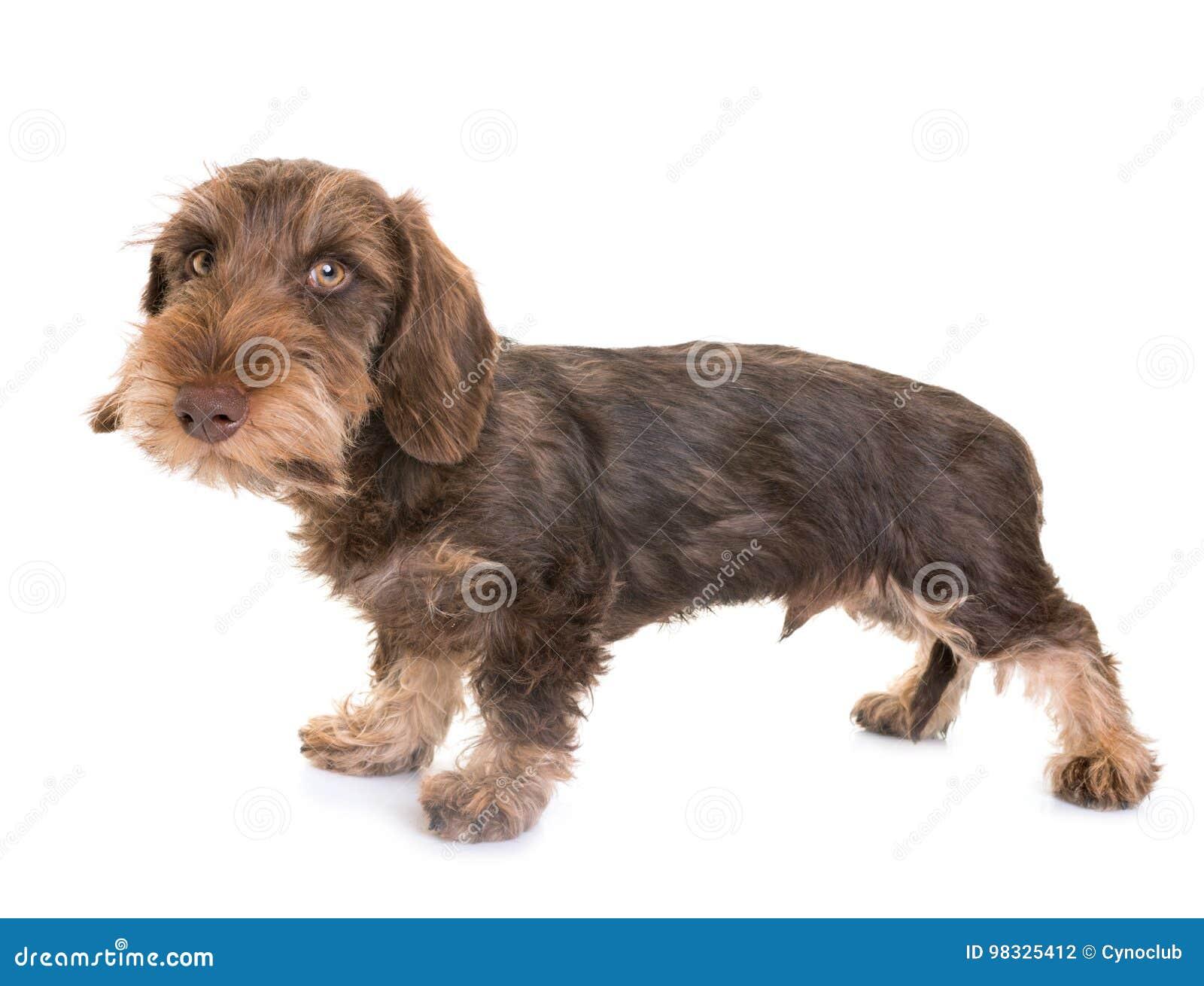 Puppy Wire-haired Tekkel