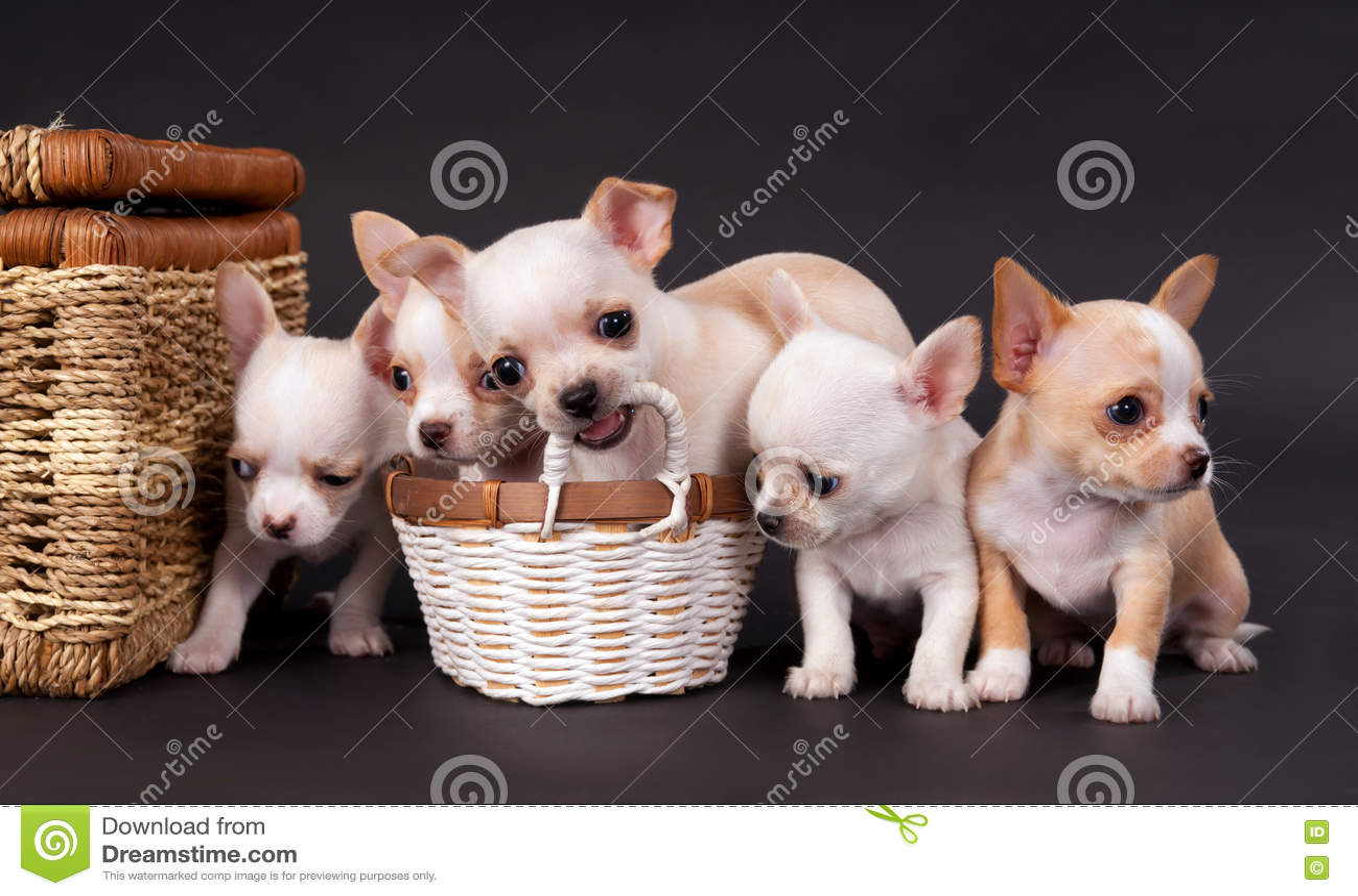 Puppys чихуахуа белизн малые сидя около тележки