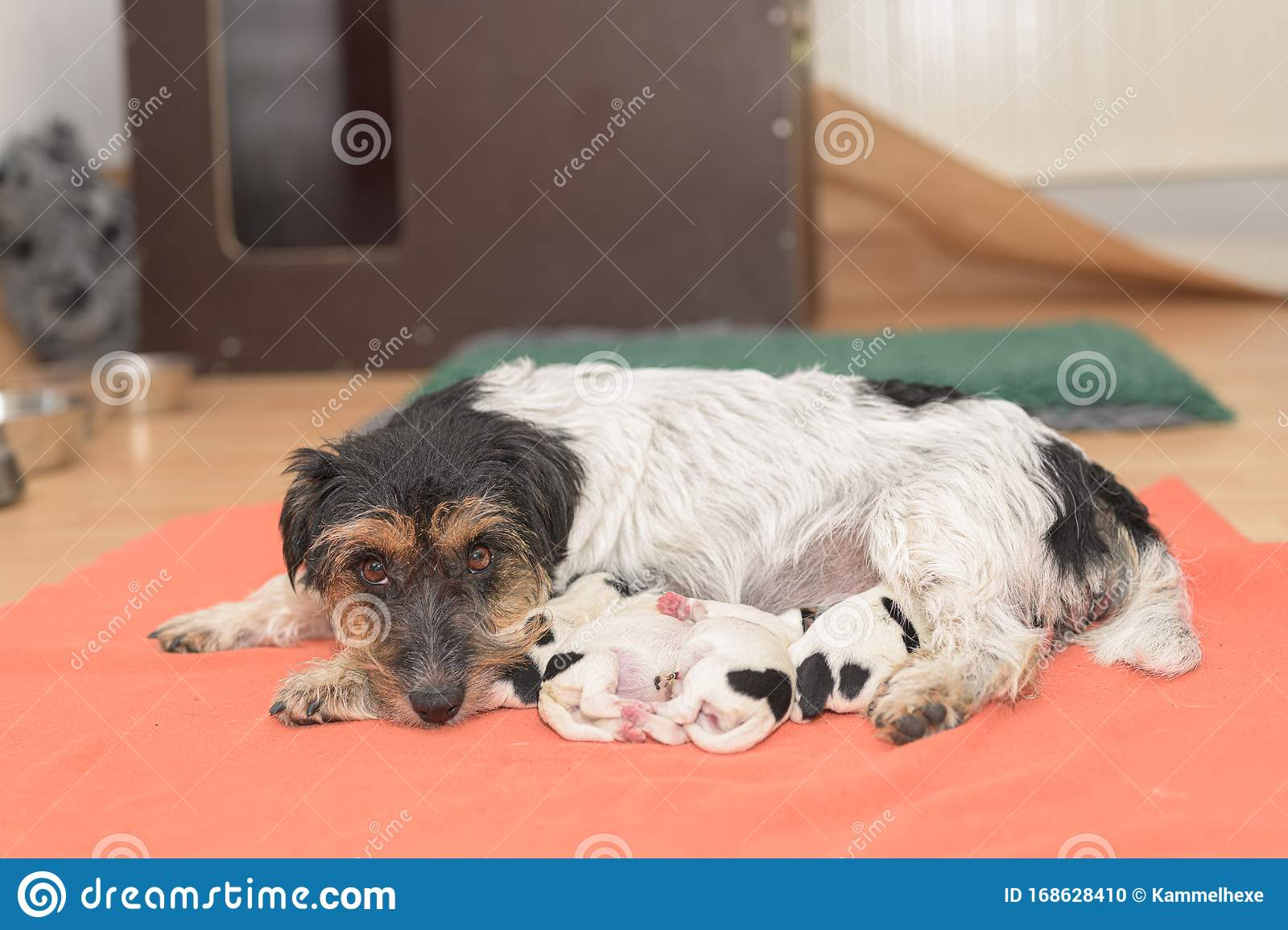 Pups On The Day Of Birth 0 Days Old Purebred Very Tiny Jack Russell Terrier Baby Dogs With Her Mother Newborn Puppies Are Stock Photo Image Of Breed Dogs 168628410