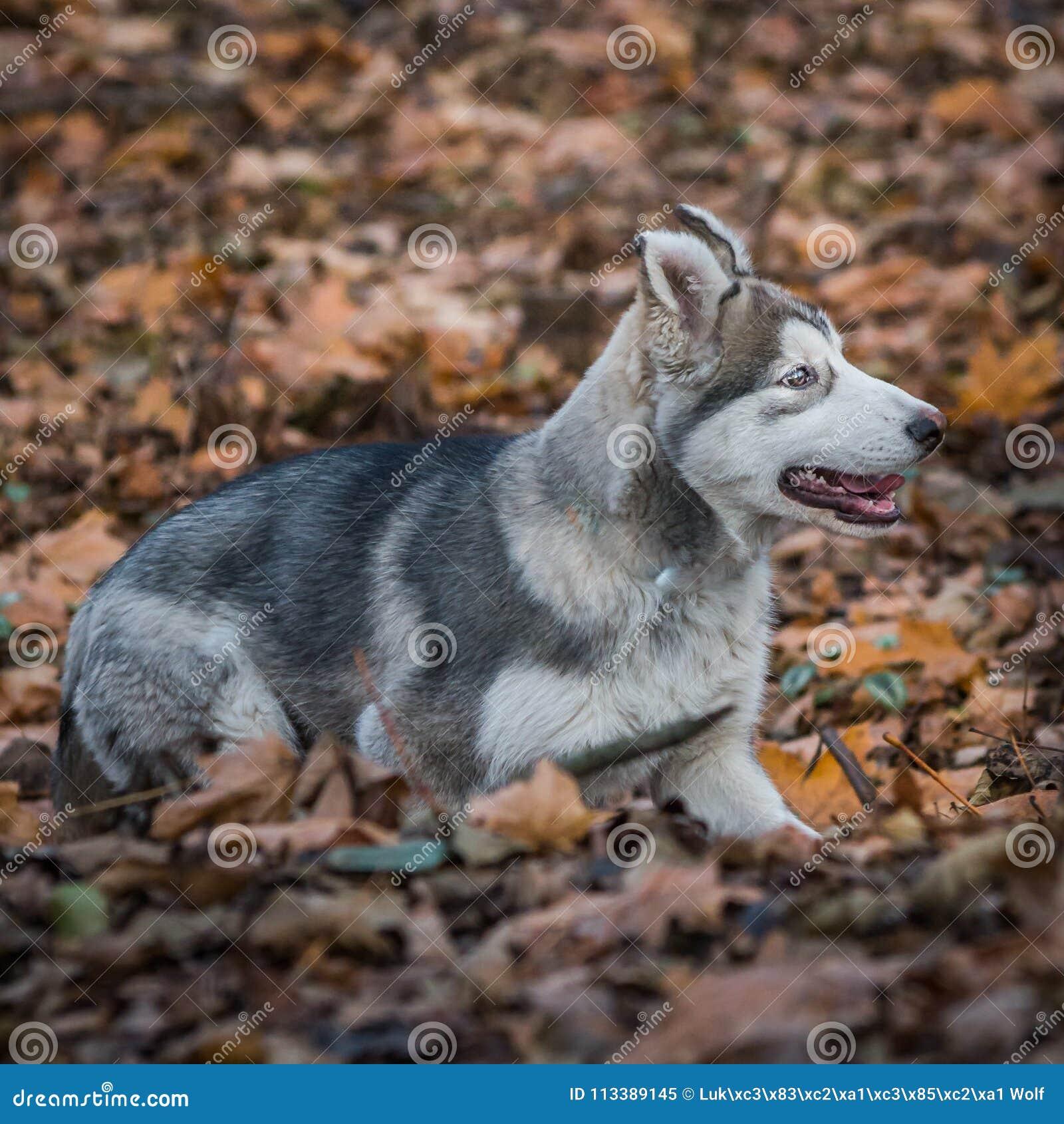 Pupy, alaskischer Malamute Canis Lupus familiaris männlich