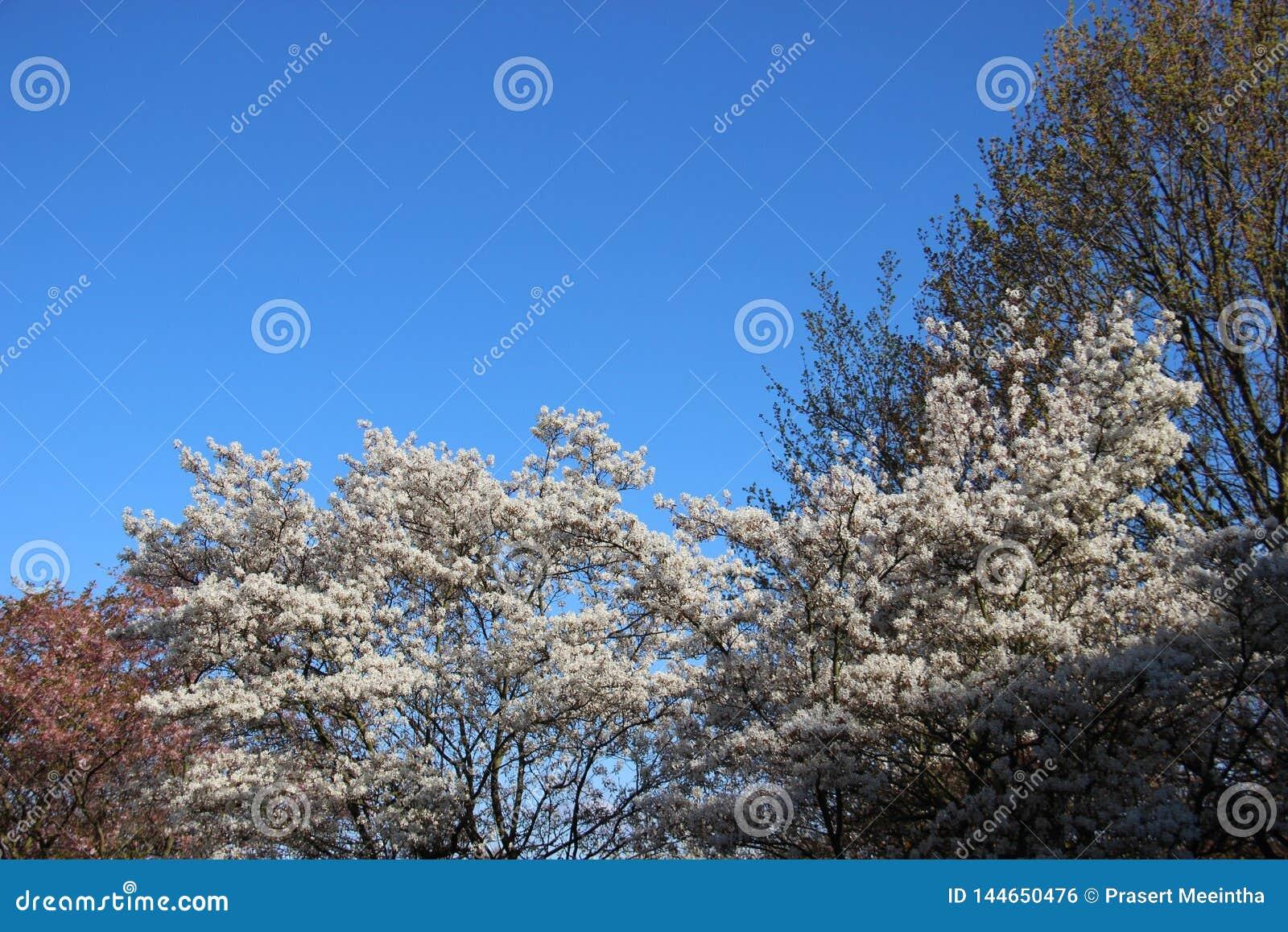Pur Fleurs blanches de floraison fleurissantes en ciel de Sunny Day With Clear Blue