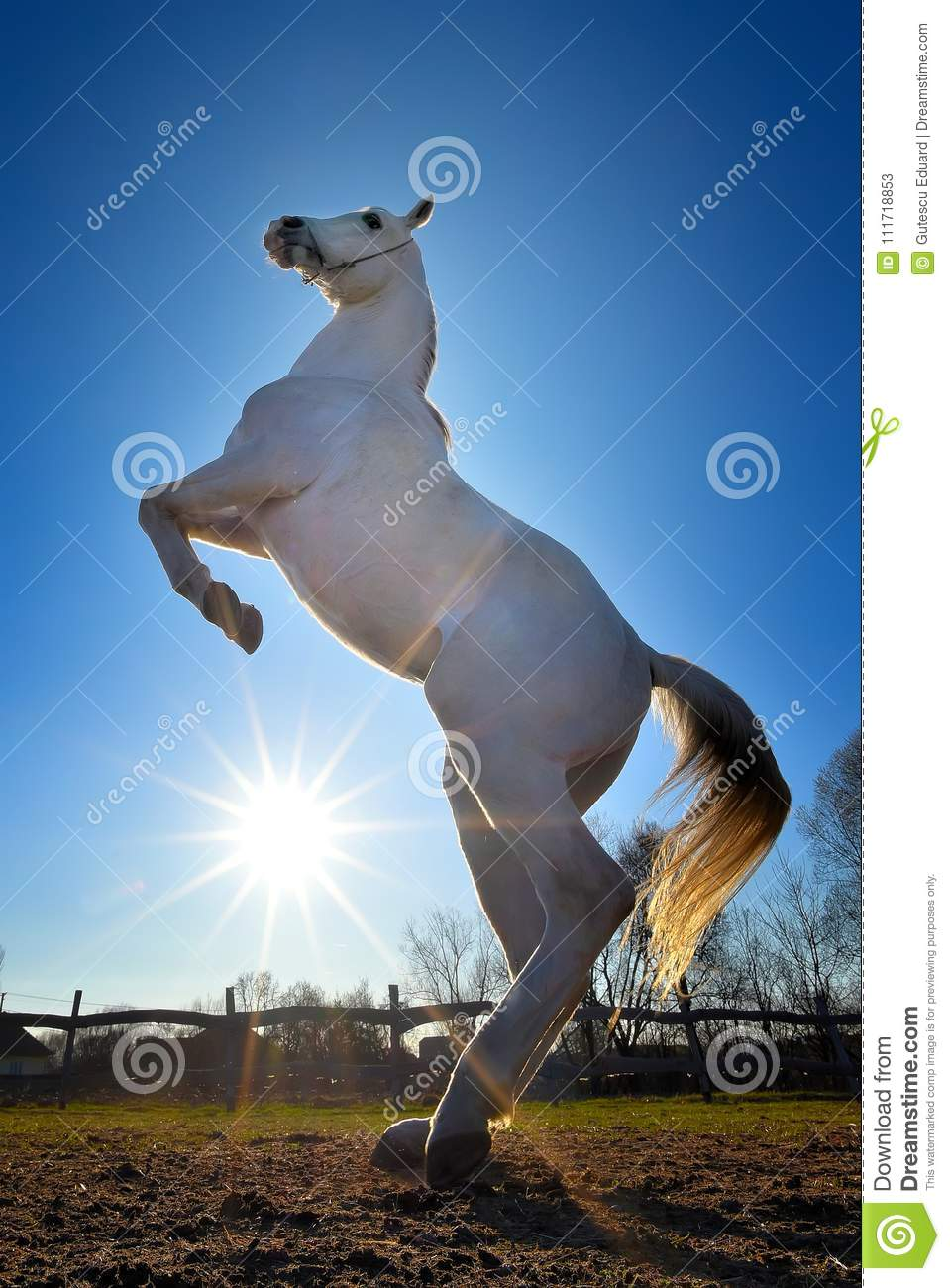 Pure Arabian White Horse On Training Day With Glowing Sun Stock Image Image Of Force Breed 111718853