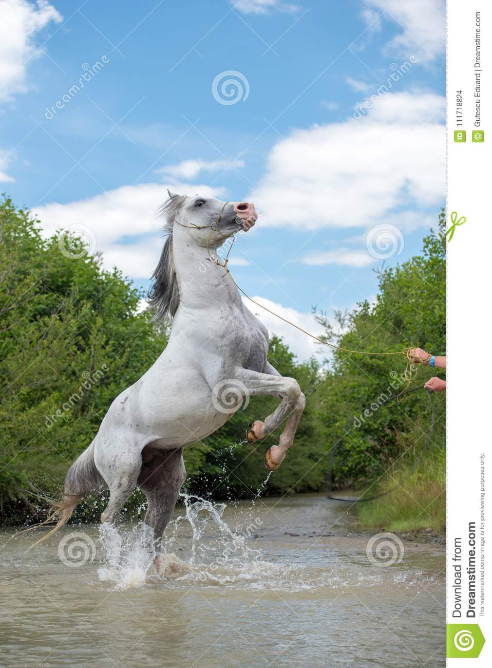 Pure Arabian White Horse On Training Day On Water Stock Photo Image Of Bridle Animal 111718824