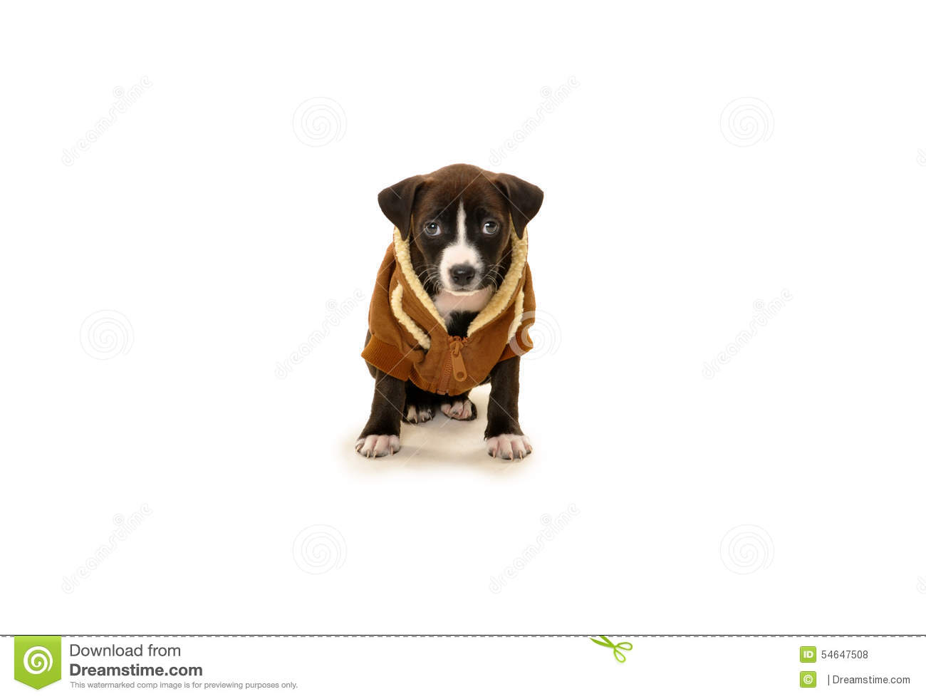 Pure bred pit bull puppy in jacket looking straight at audience