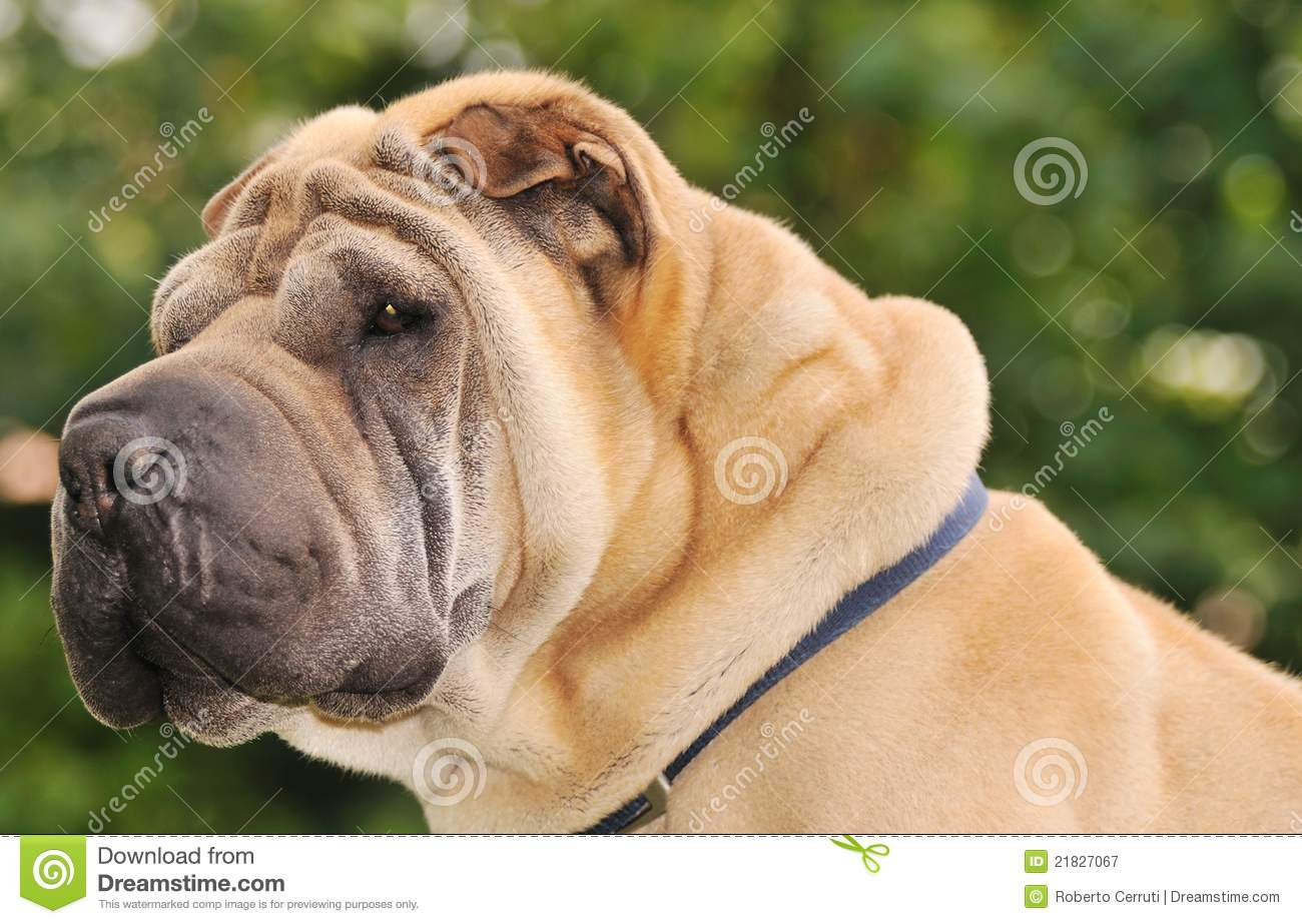 Pure-bred Shar Pei Dog Royalty Free Stock Photography ...