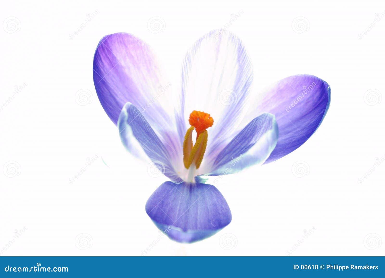 Pure crocus flower