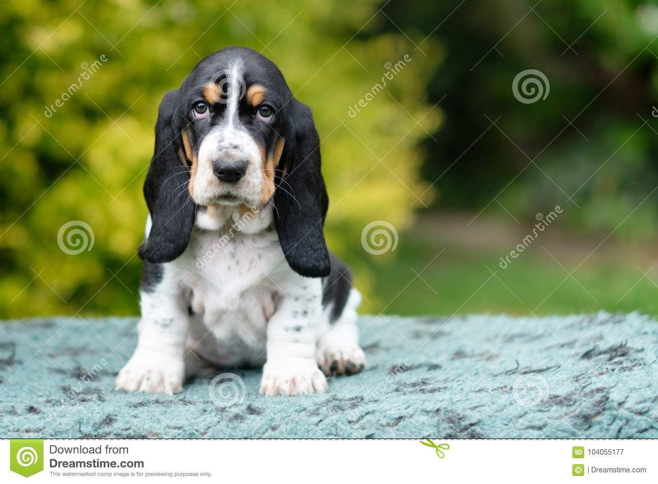 Sad young basset hound puppy looks right into the camera