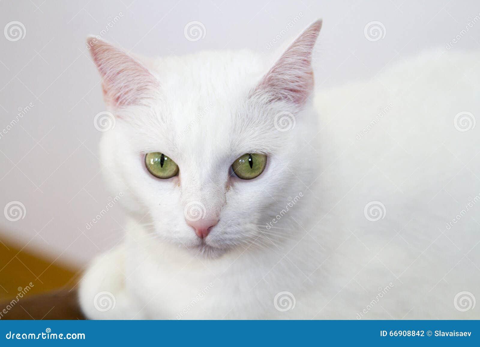 Pure White Cat Stock Photo Image Of Portrait Staring