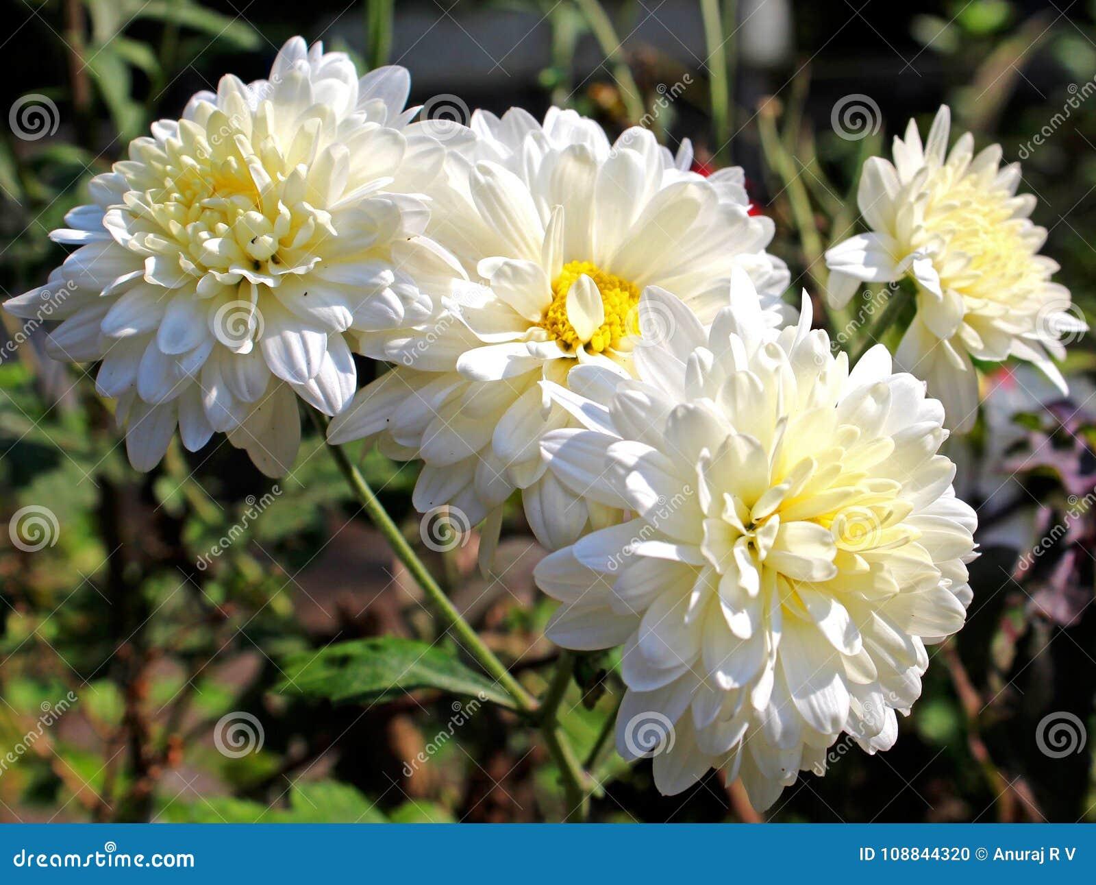 Pure White Chrysanthemum Flower Stock Photo Image Of Asteraceae