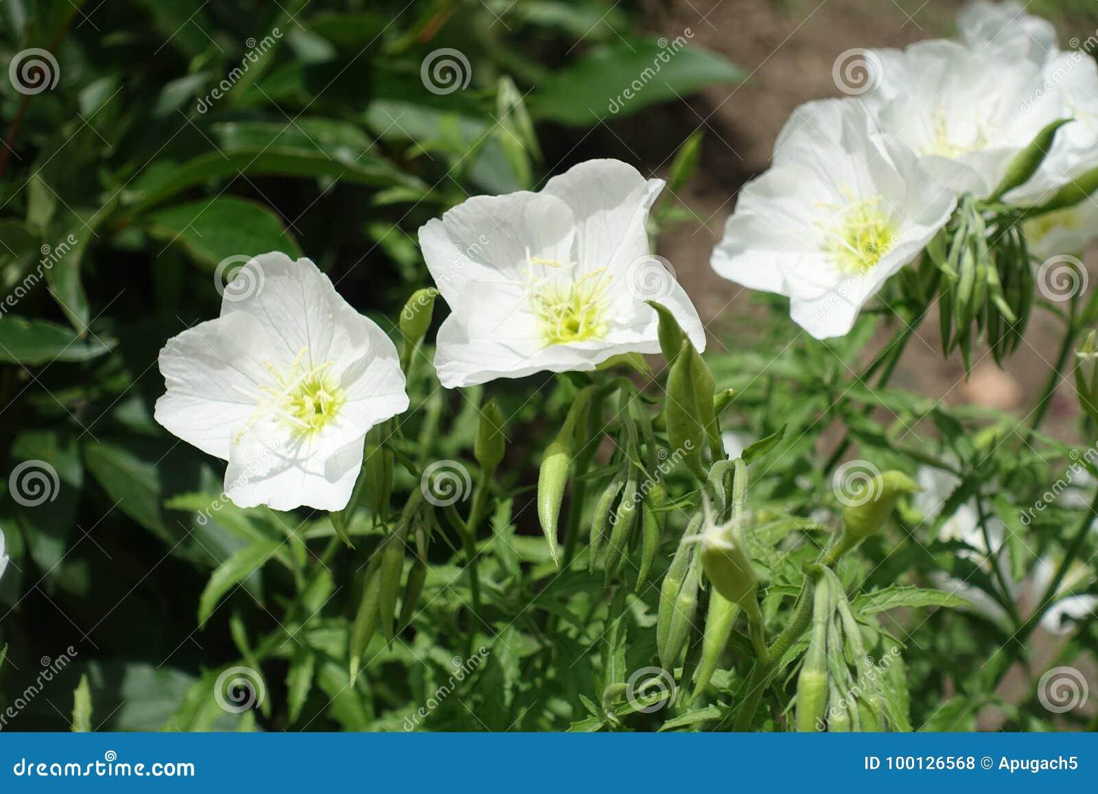 Pure white flowers of showy evening primrose stock photo image of pure white flowers of showy evening primrose mightylinksfo
