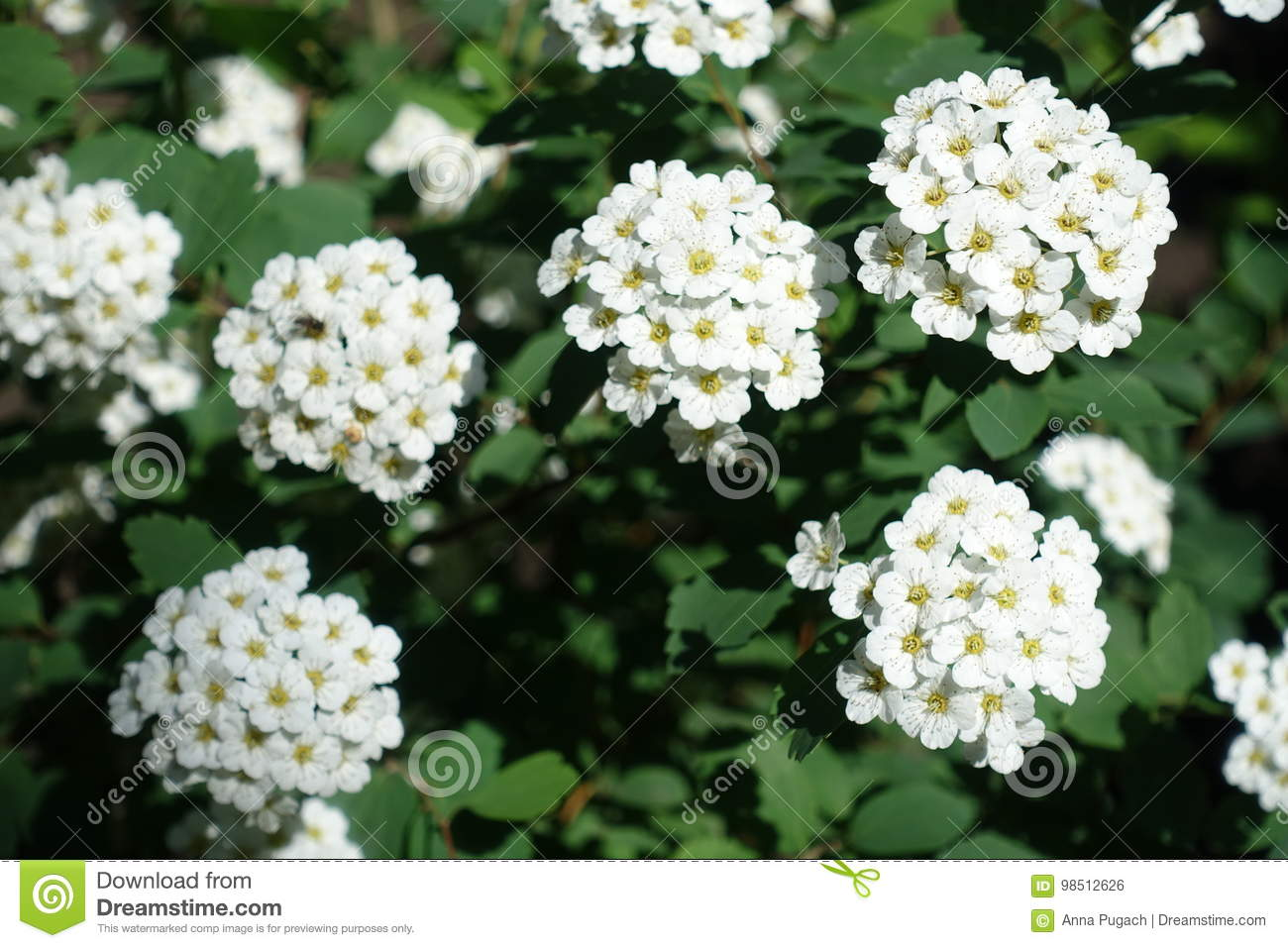 Pure White Flowers Of Spirea Stock Photo Image Of Flower Hedge