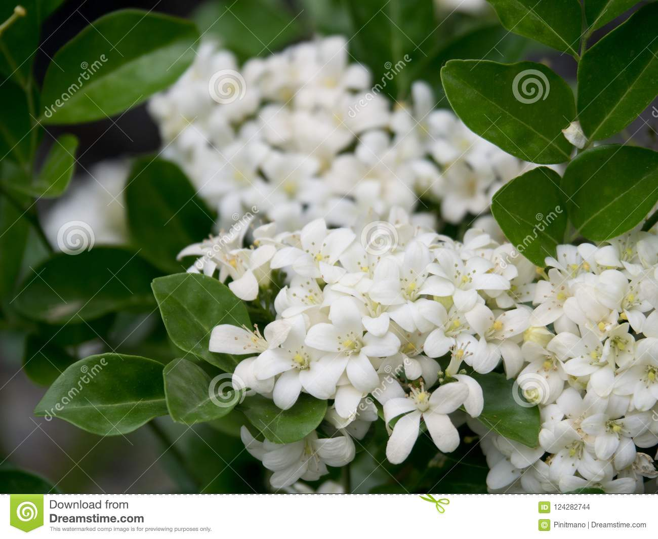 Pure White Orange Jasmine Flowers Small Delicate And Sweet Scented