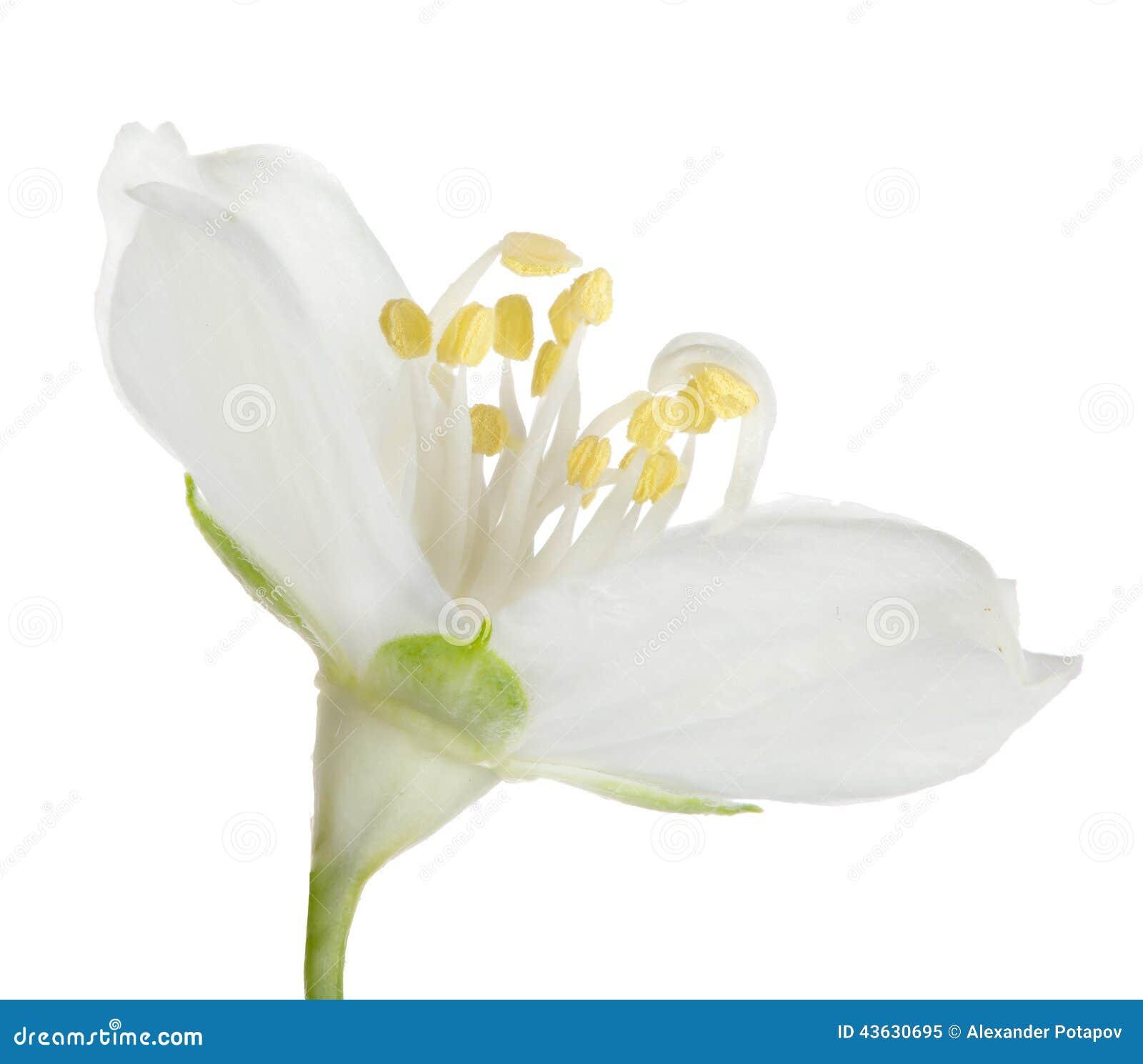 Pure White Single Jasmine Bloom Stock Image Image Of Jasmine