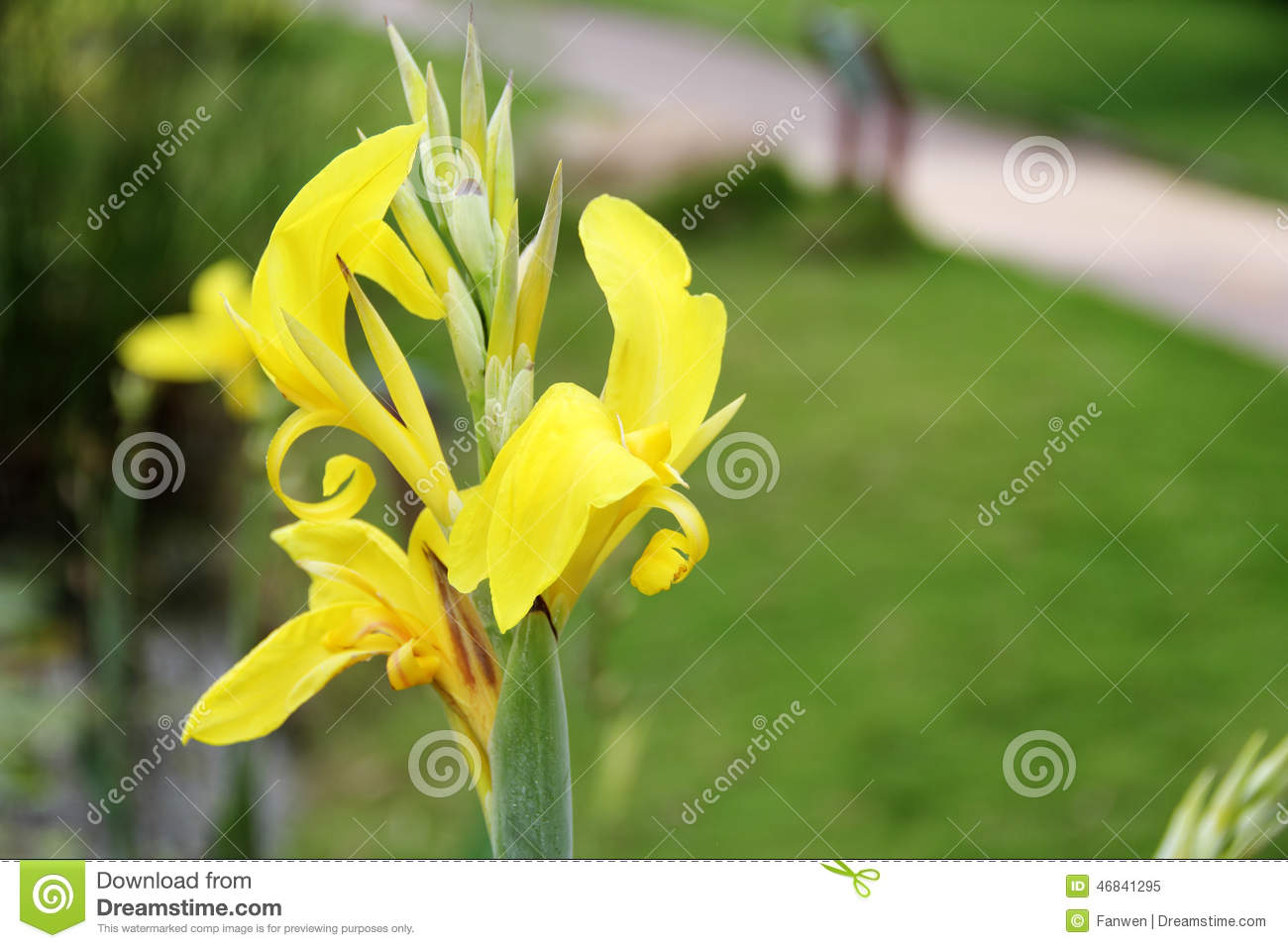 Pure Yellow Canna Flower Stock Image Image Of Pretty 46841295