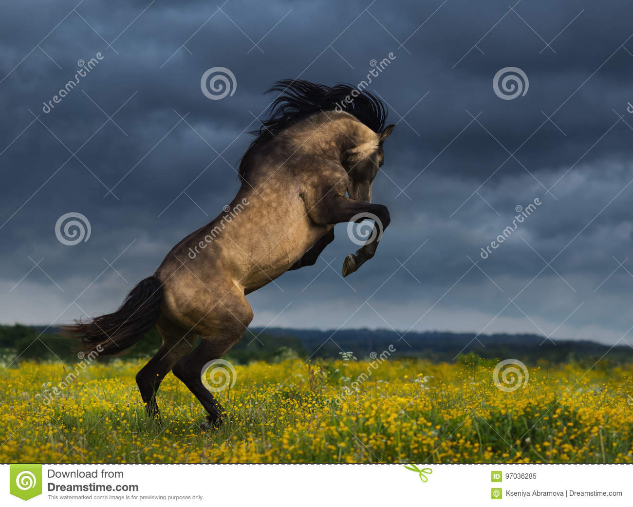 Purebred Andalusian horse rear on meadow with dramatic overcast