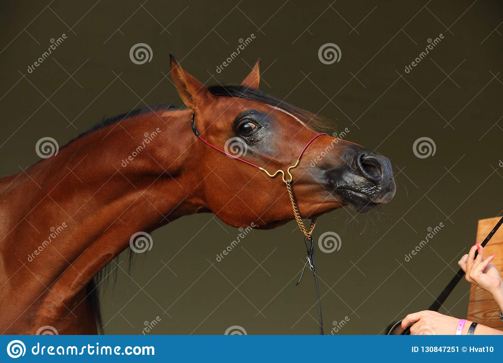 Purebred Arabian Horse With Jewelry Bridle Stock Image Image Of Animal Closeup 130847251
