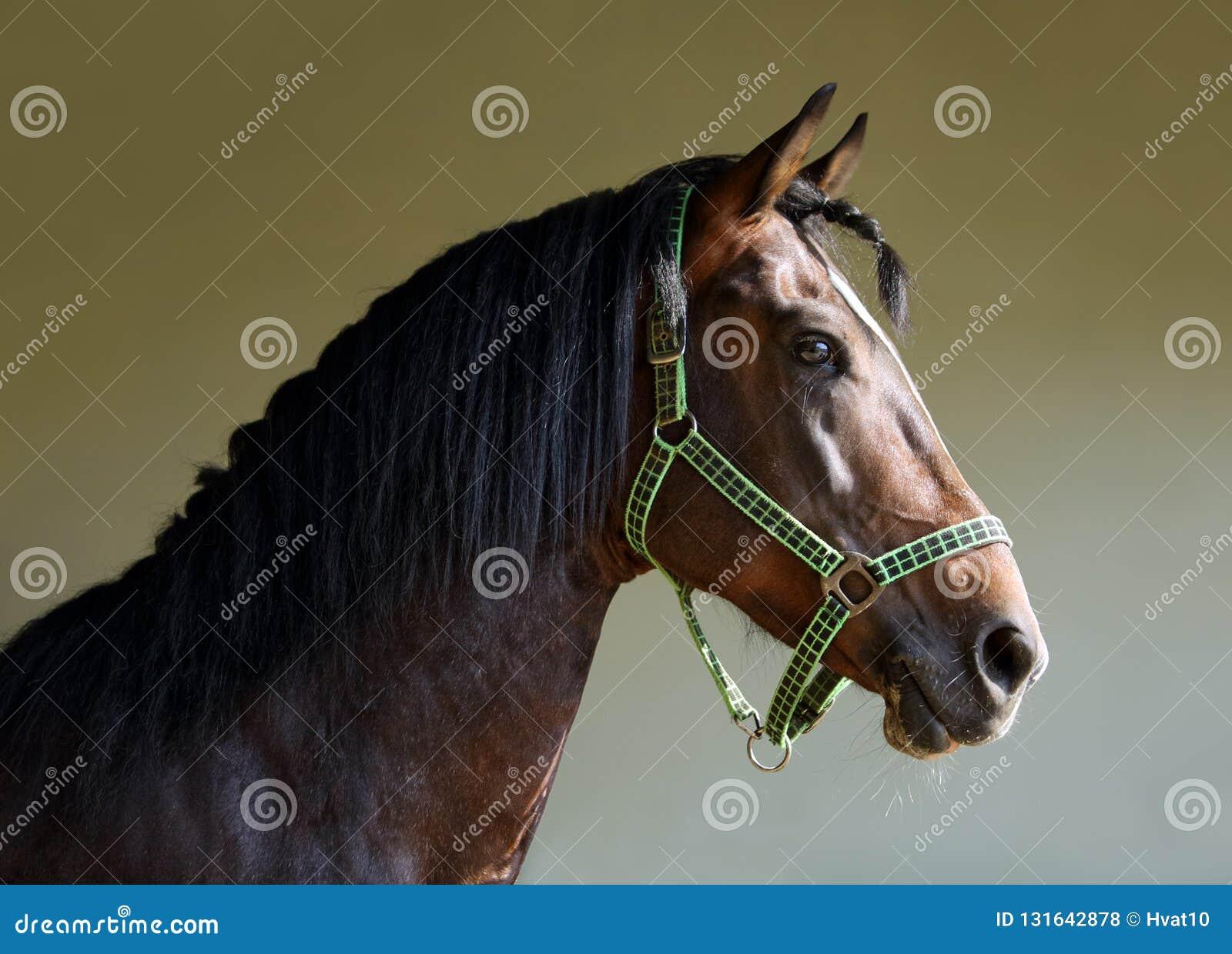 Purebred Arabian Horse Portrait Of A Bay Stallion Stock Photo Image Of Closeup Mare 131642878
