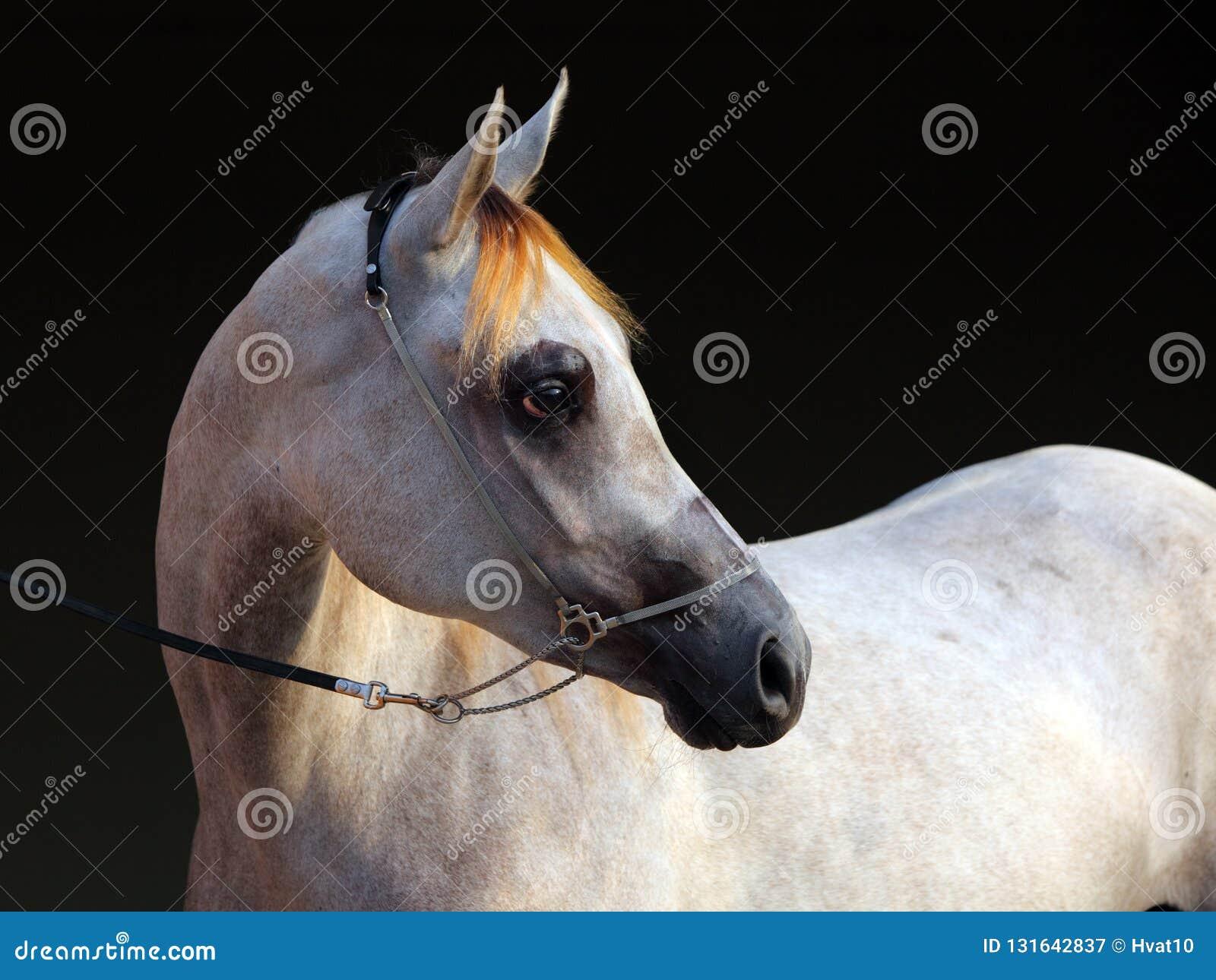 Purebred Arabian Horse Portrait Of A Dapple Gray Mare Stock Image Image Of Bridle Mare 131642837