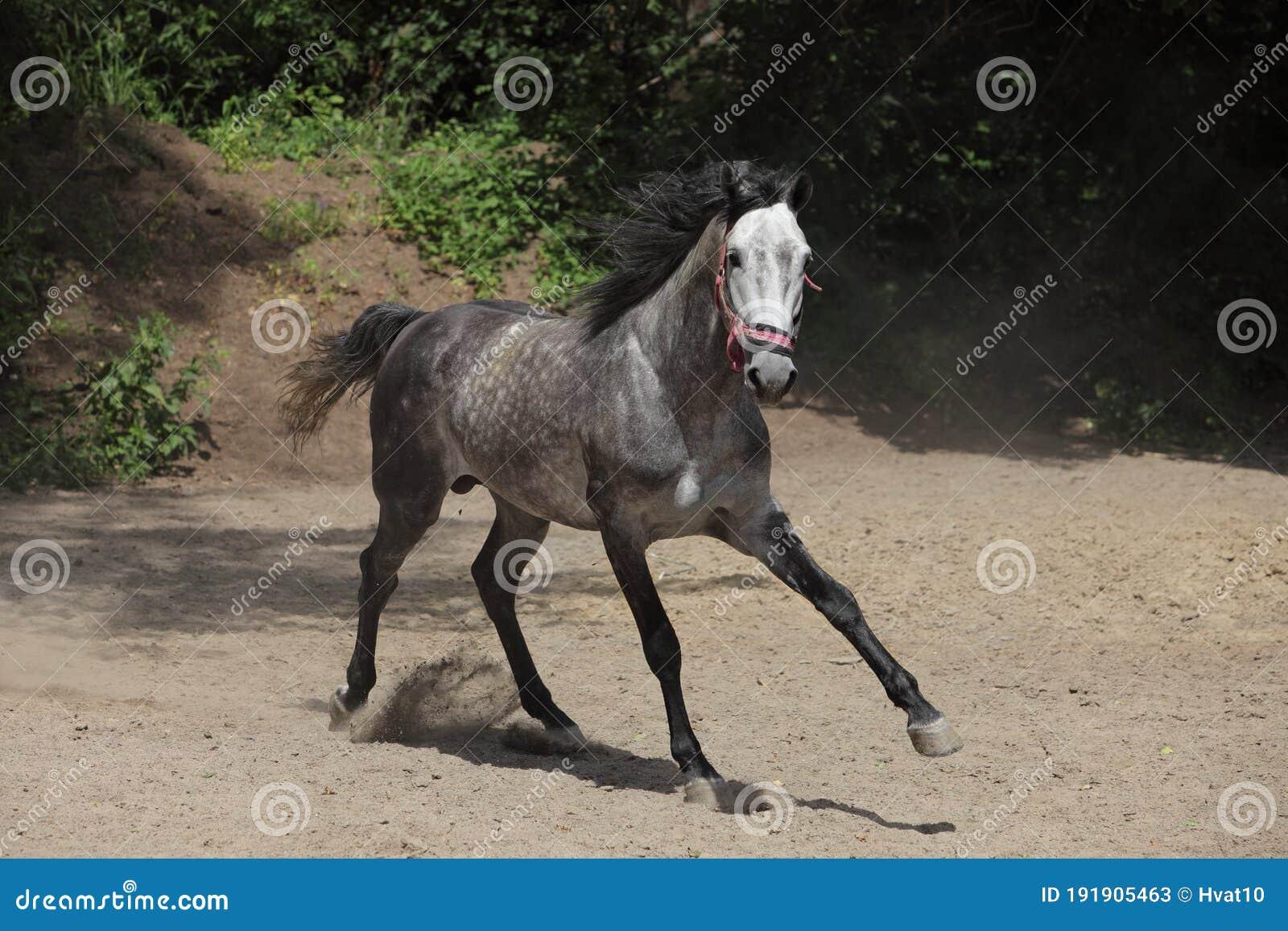 177 Dapple Grey Horse Arabian Photos Free Royalty Free Stock Photos From Dreamstime