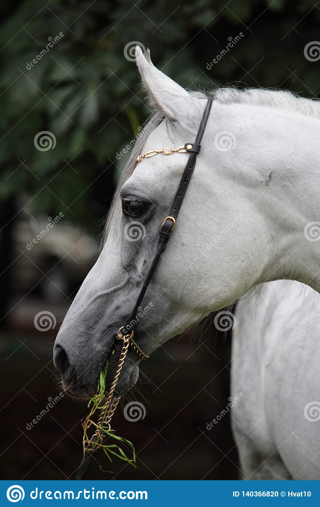 Purebred Arabian Horse Portrait Of A Grey Mare With Jewelry Bridle Stock Photo Image Of Nature Head 140366820