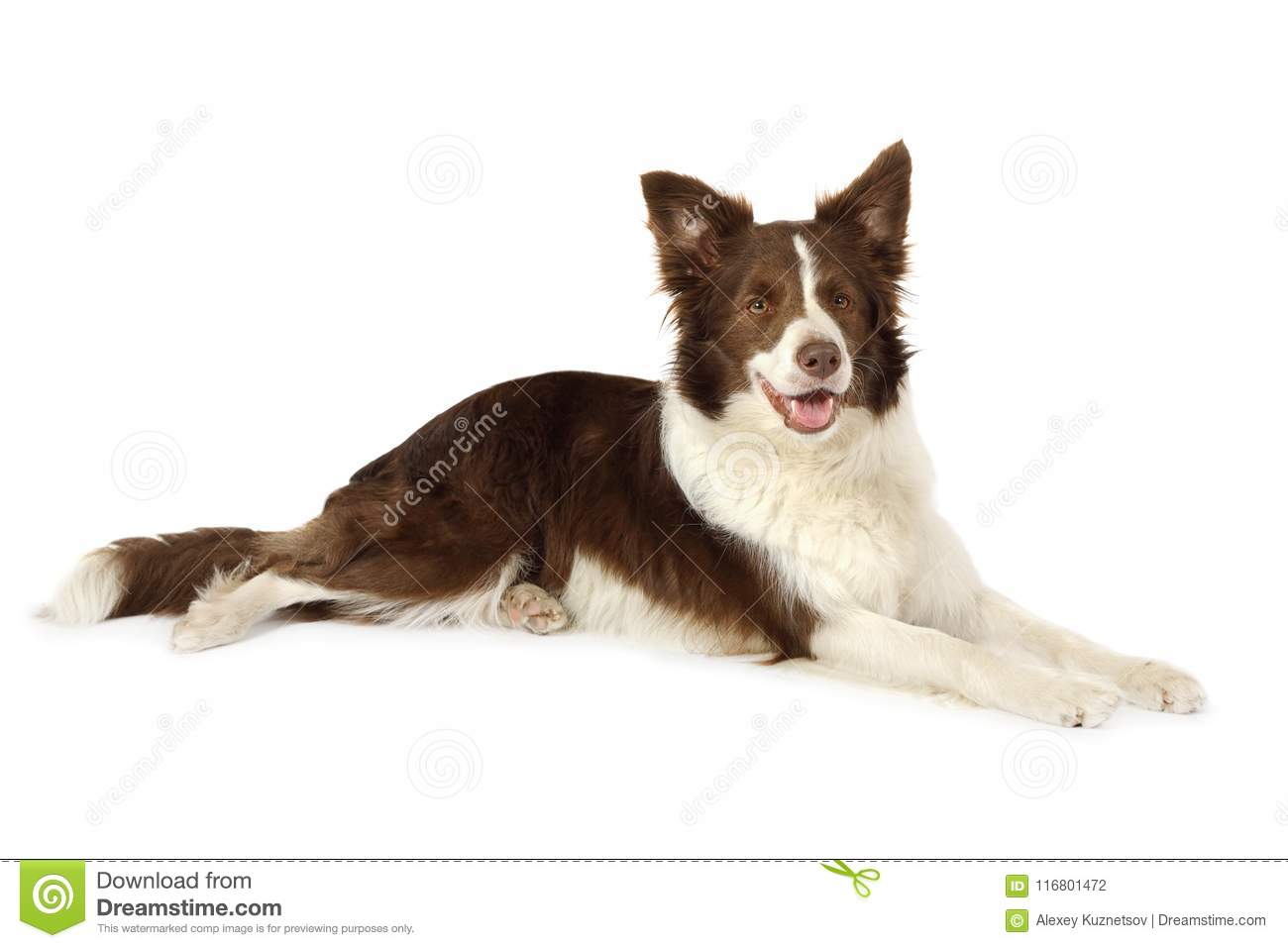 Collie border dog lying in front of white background