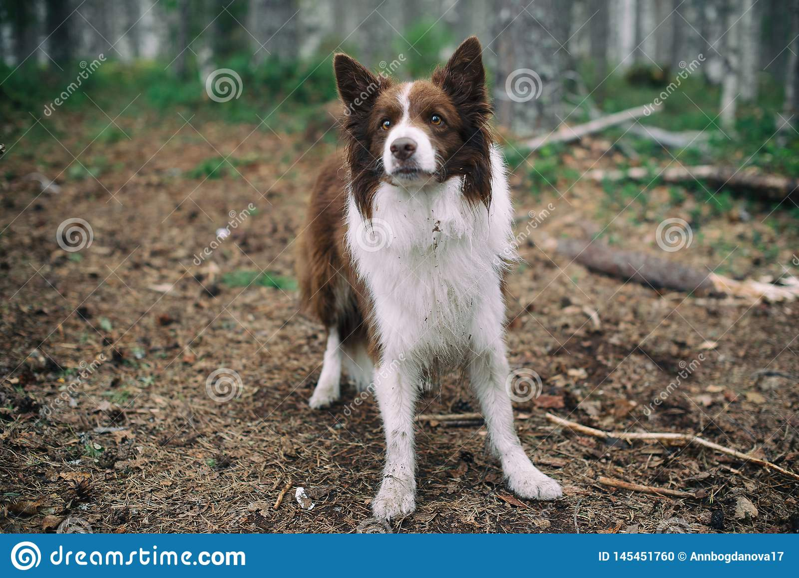 Dog in the forest. brown border collie in the forest.