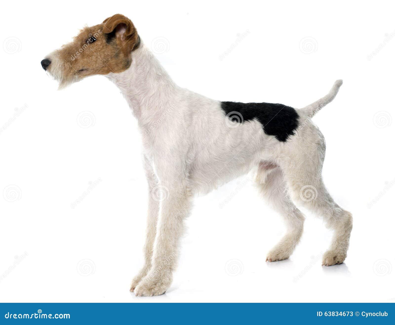 Purebred fox terrier stock image. Image of animal, studio - 63834673