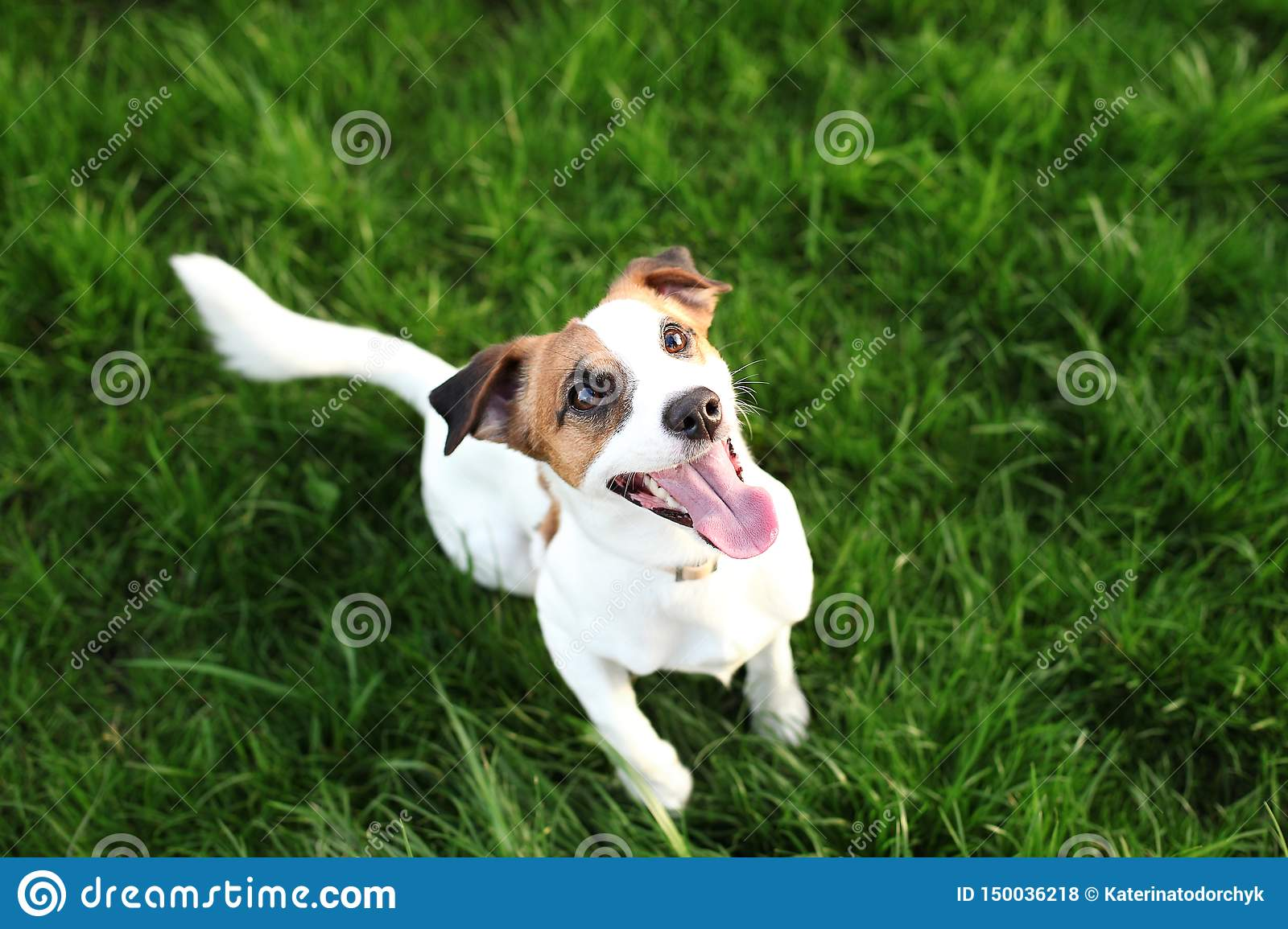 Purebred Jack Russell Terrier dog outdoors on nature in the grass on a summer day. Happy dog ​​sits in the park.