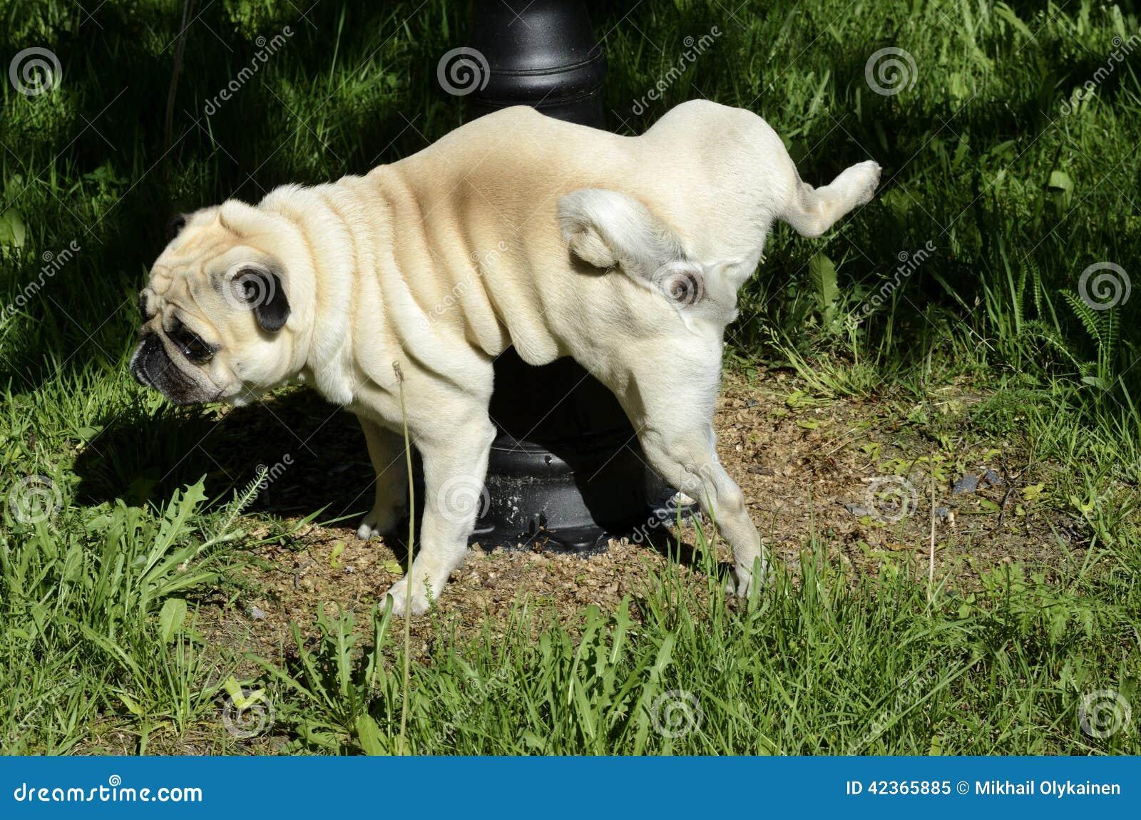 purebred pug pees on a pillar stock photo