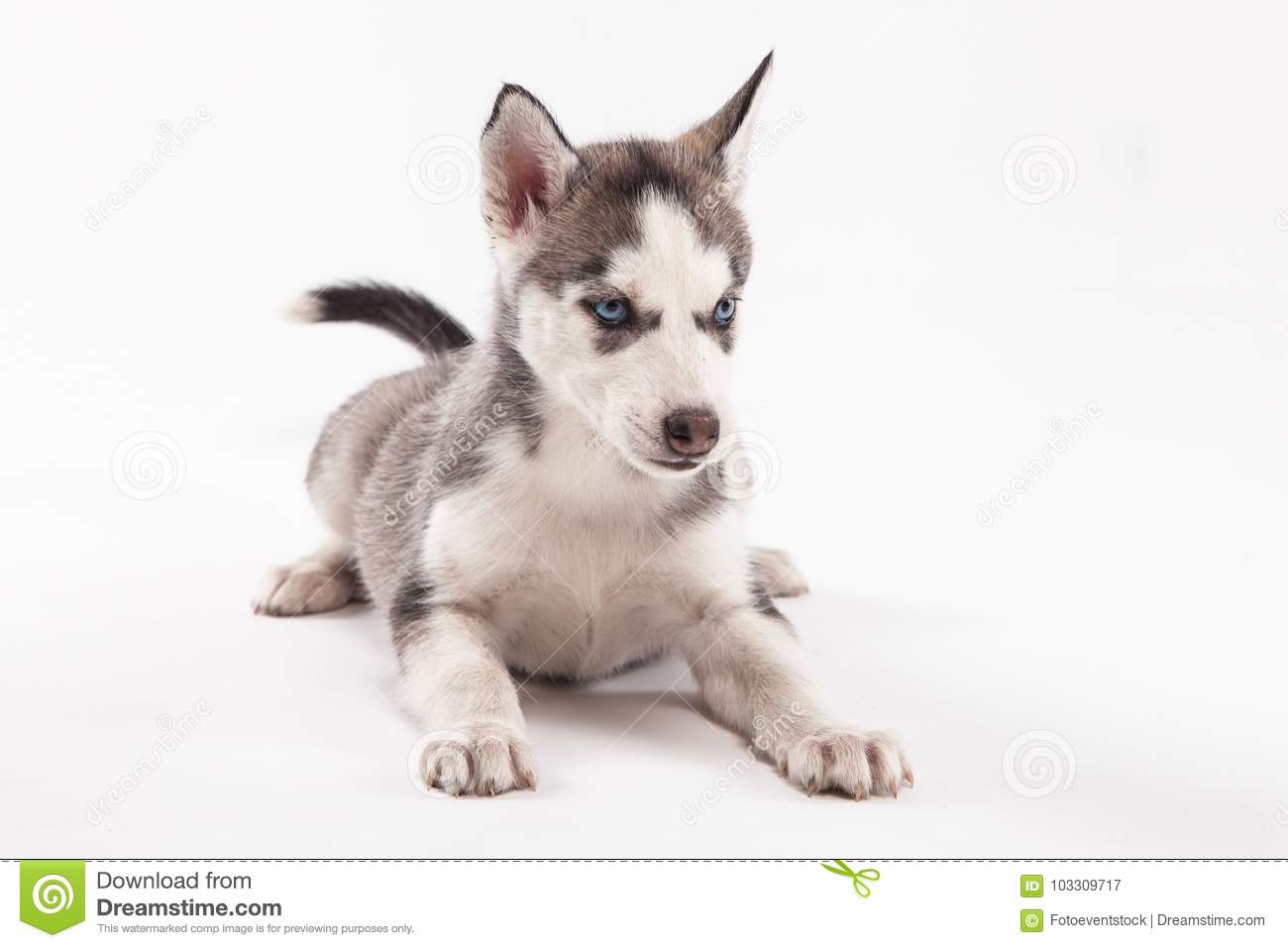 Husky Puppy On A White Background Stock Image Image Of Purebred
