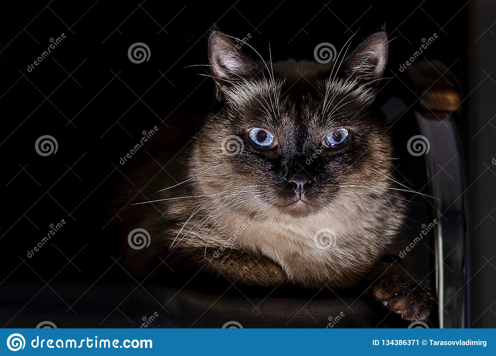 Purebred Thai cat with blue eyes, sitting on the couch in total darkness