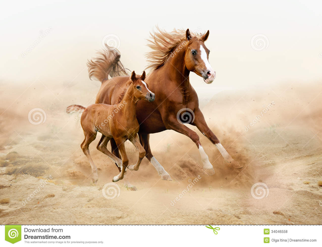 Purebred White Arabian Horse In Desert Royalty Free Stock ...